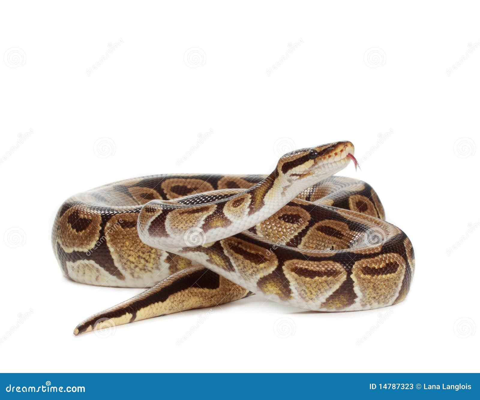 Serpent royal de python