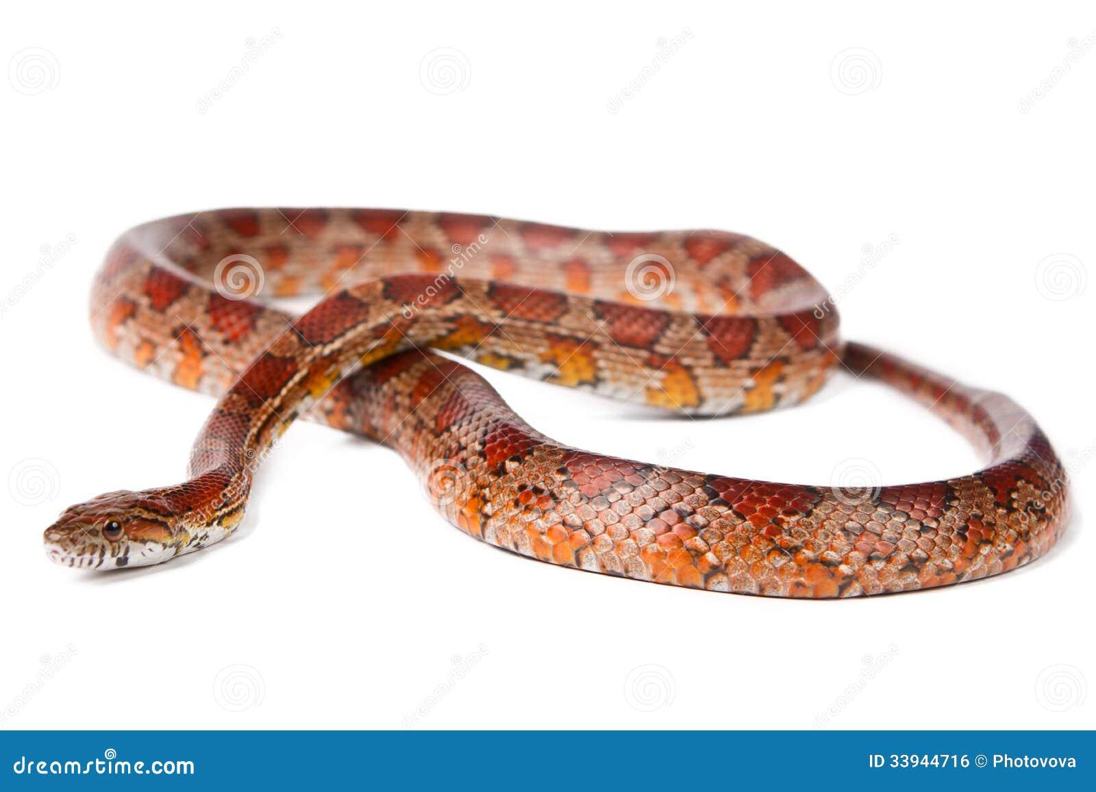 Serpent sur un fond blanc  photo stock  Image du animal