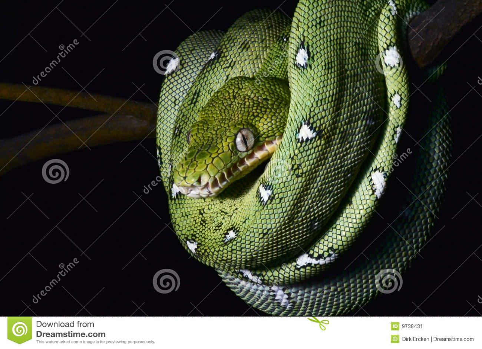 Serpent vert enroulé de reptile de jungle de boa d Amazone