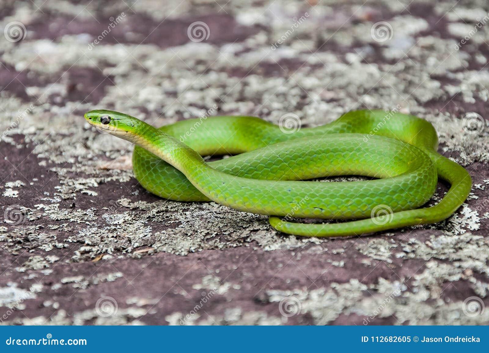 Serpent vert lisse