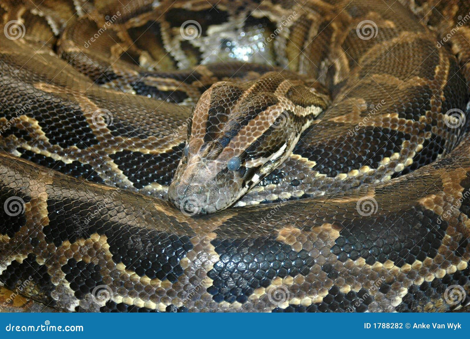 Serpente africana do sul do pitão da rocha