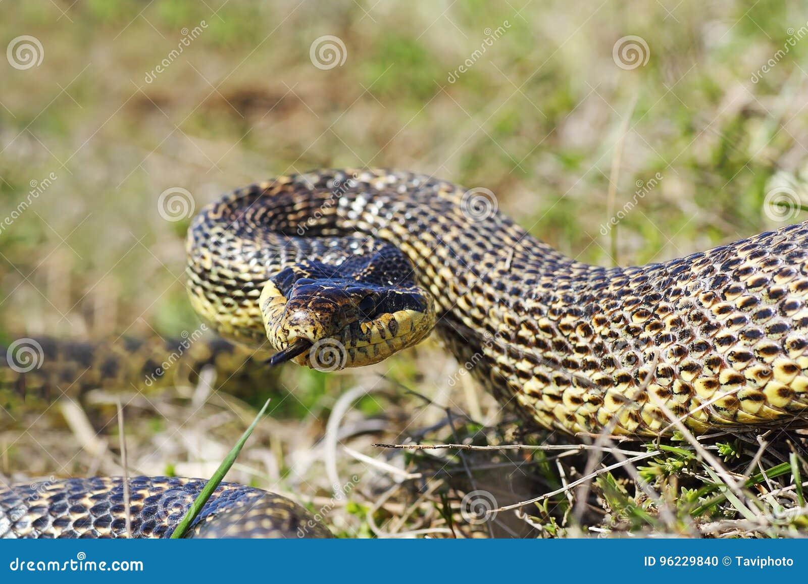 Serpente blotched aggressivo