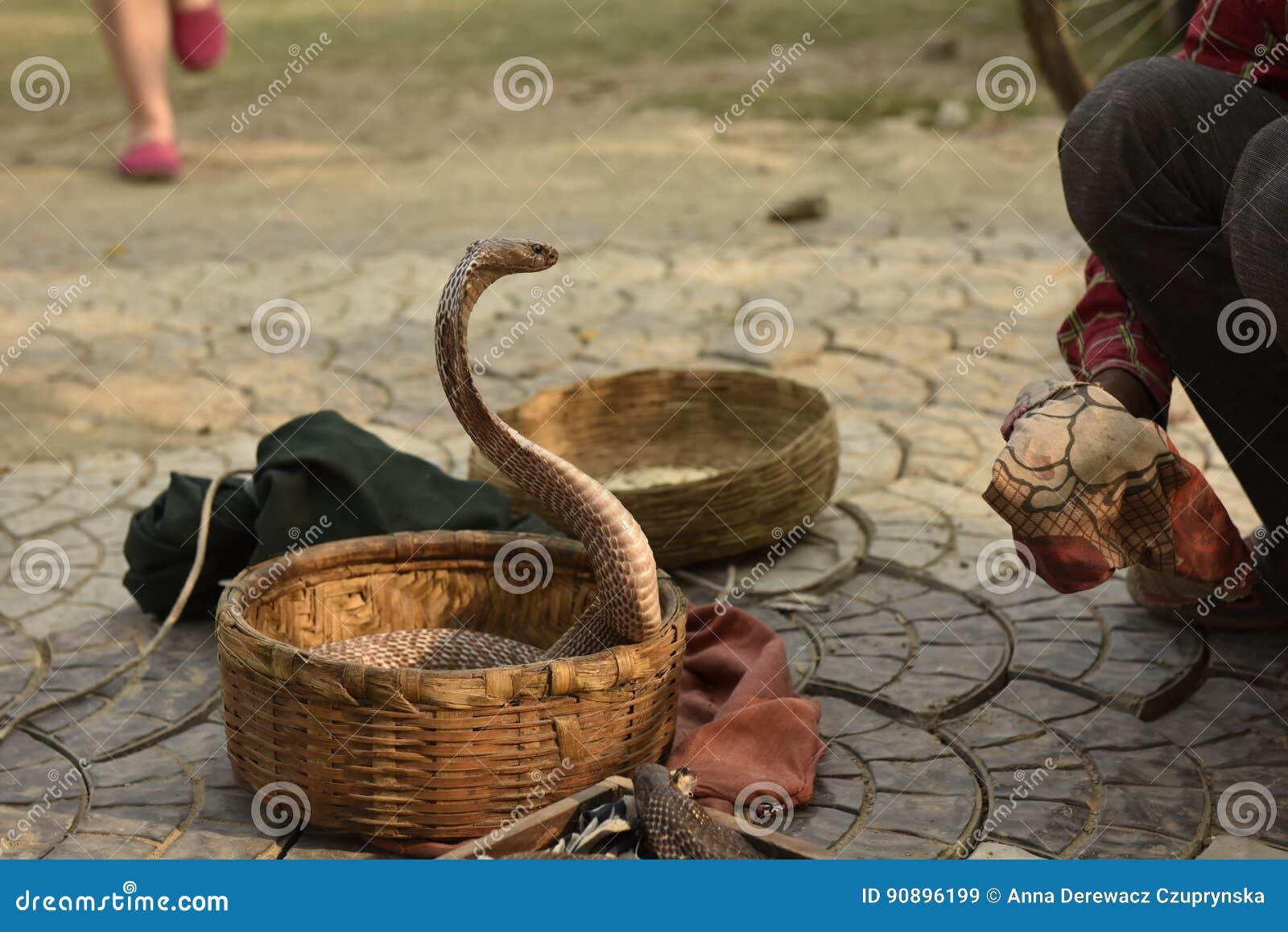 Serpente da cobra