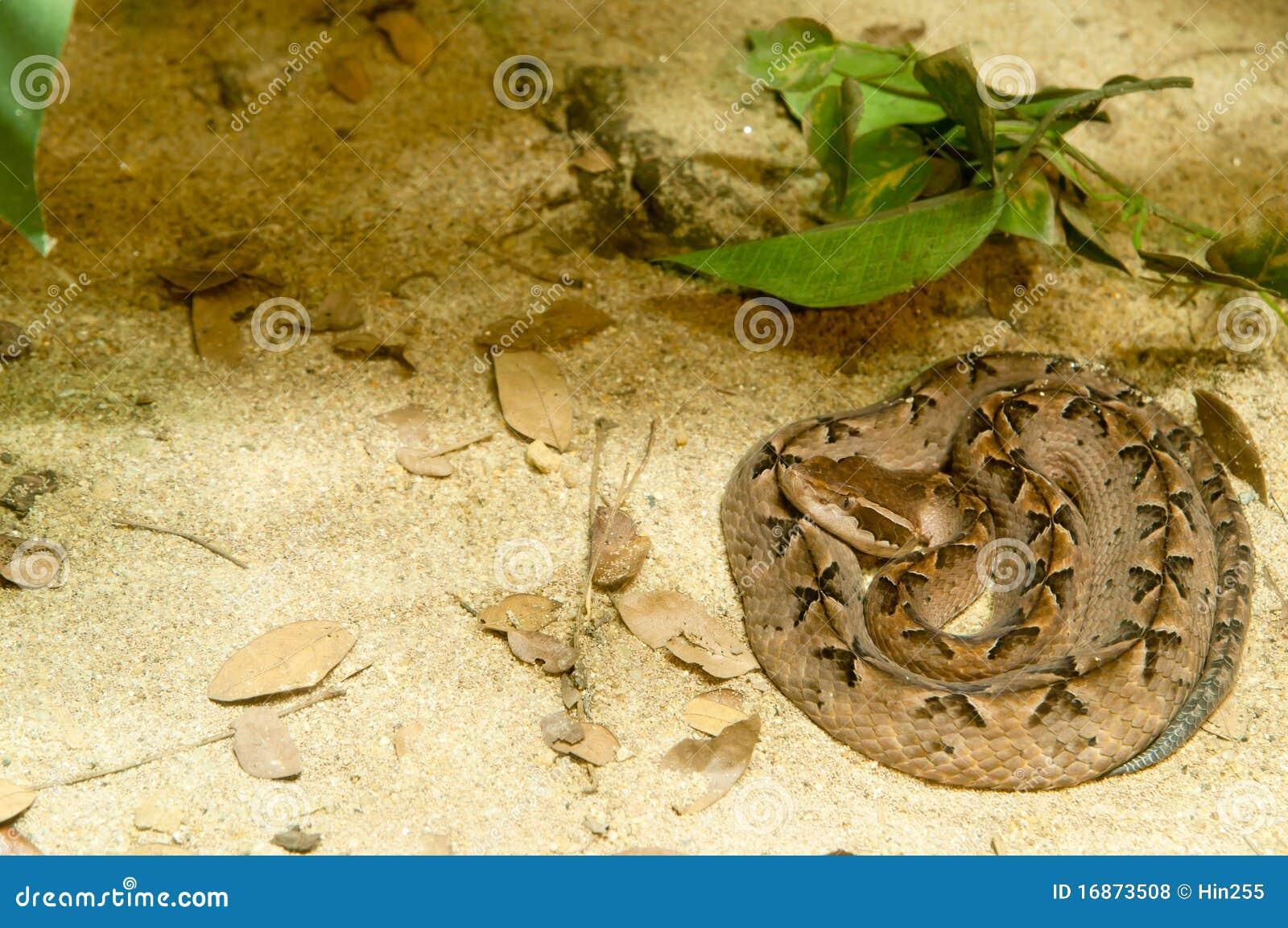 Serpente de Calloselasma