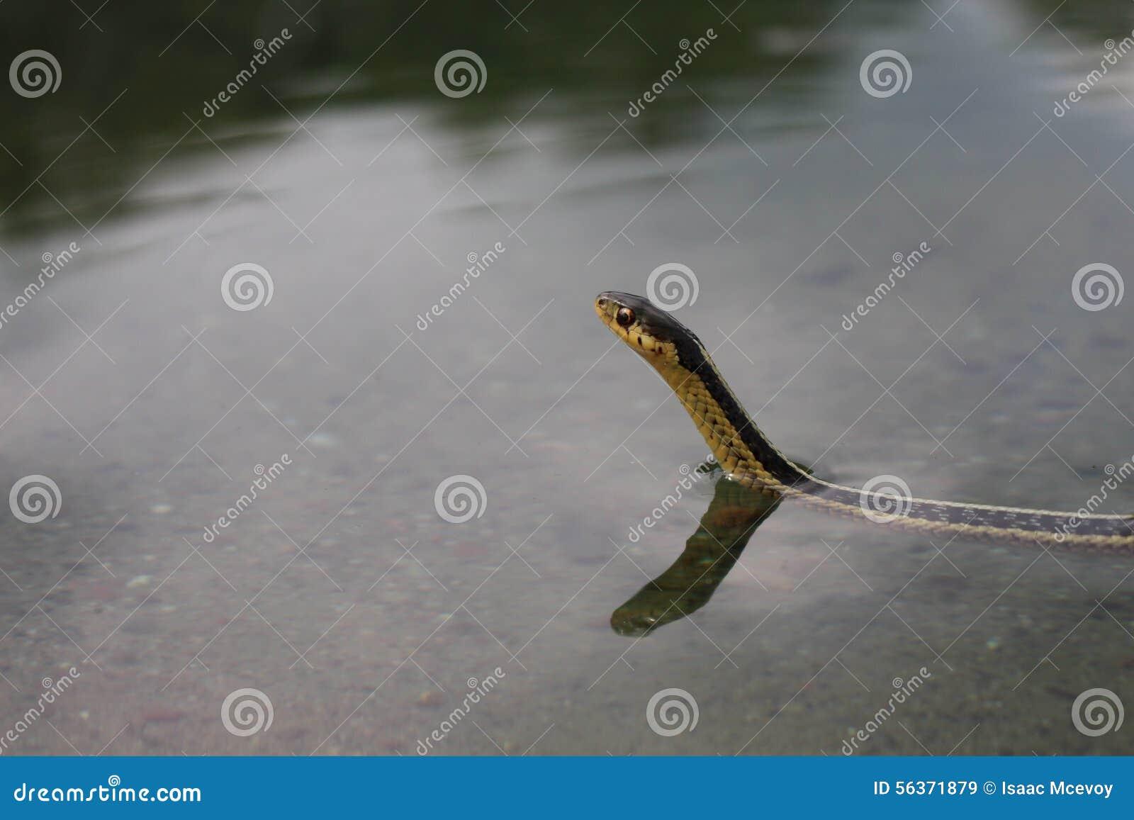 Serpente de liga da natação