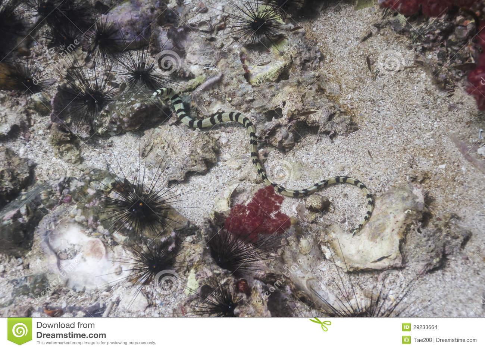 Download Serpente De Mar Preto E Branco Na Ilha De Lipe Foto de Stock - Imagem de exotic, explore: 29233664