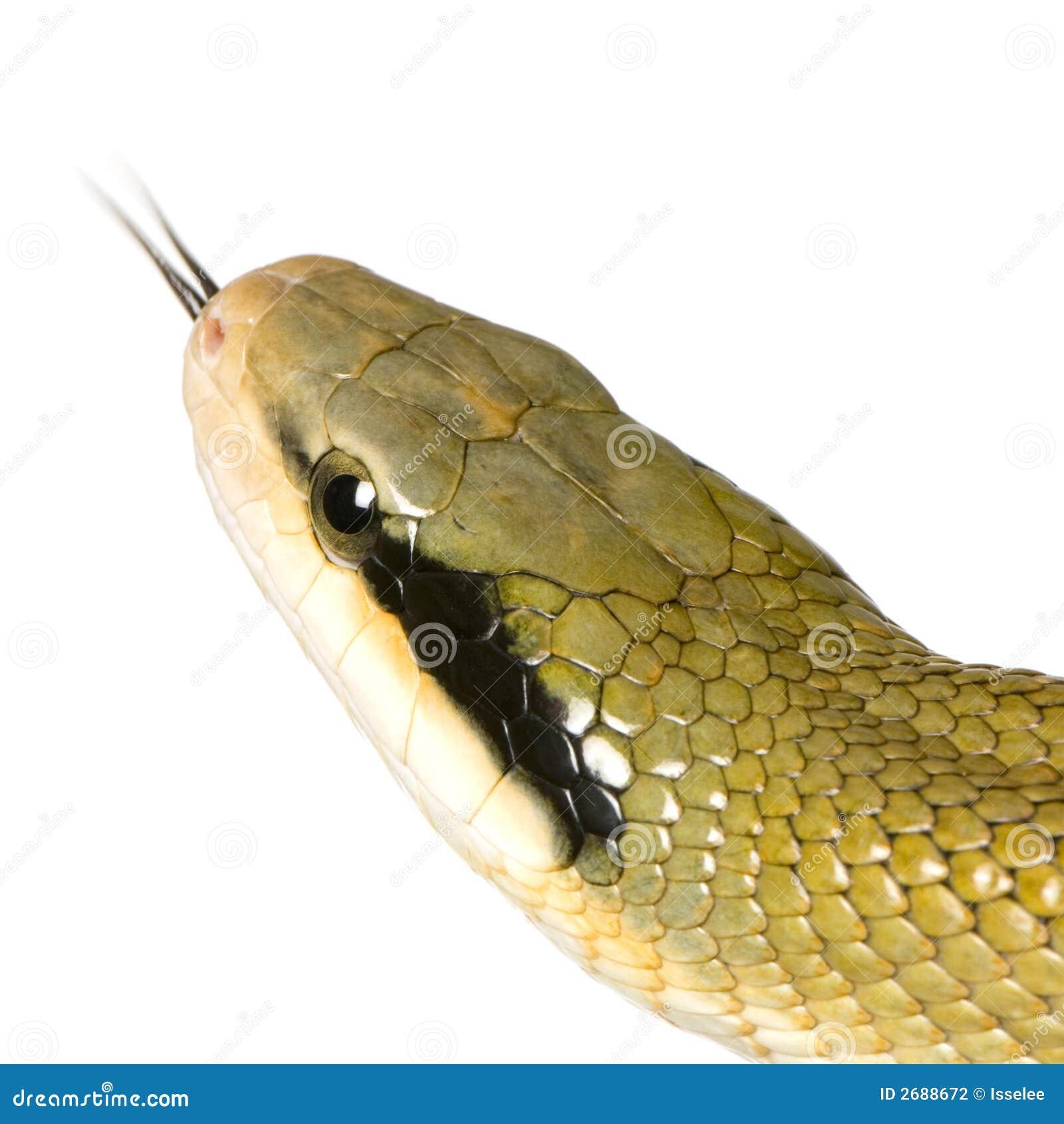 Serpente de rato