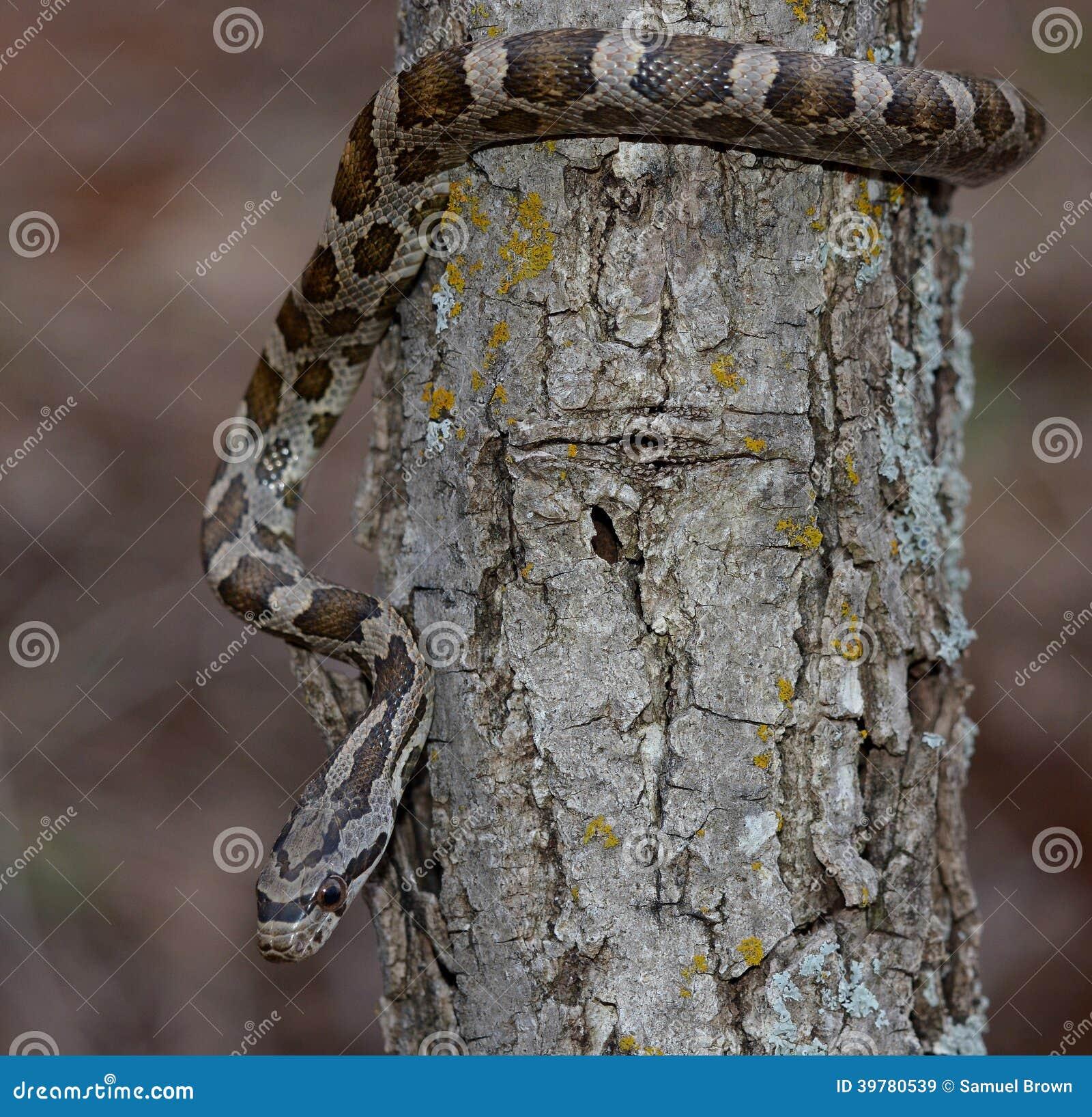 Serpente de rato preto juvenil na árvore