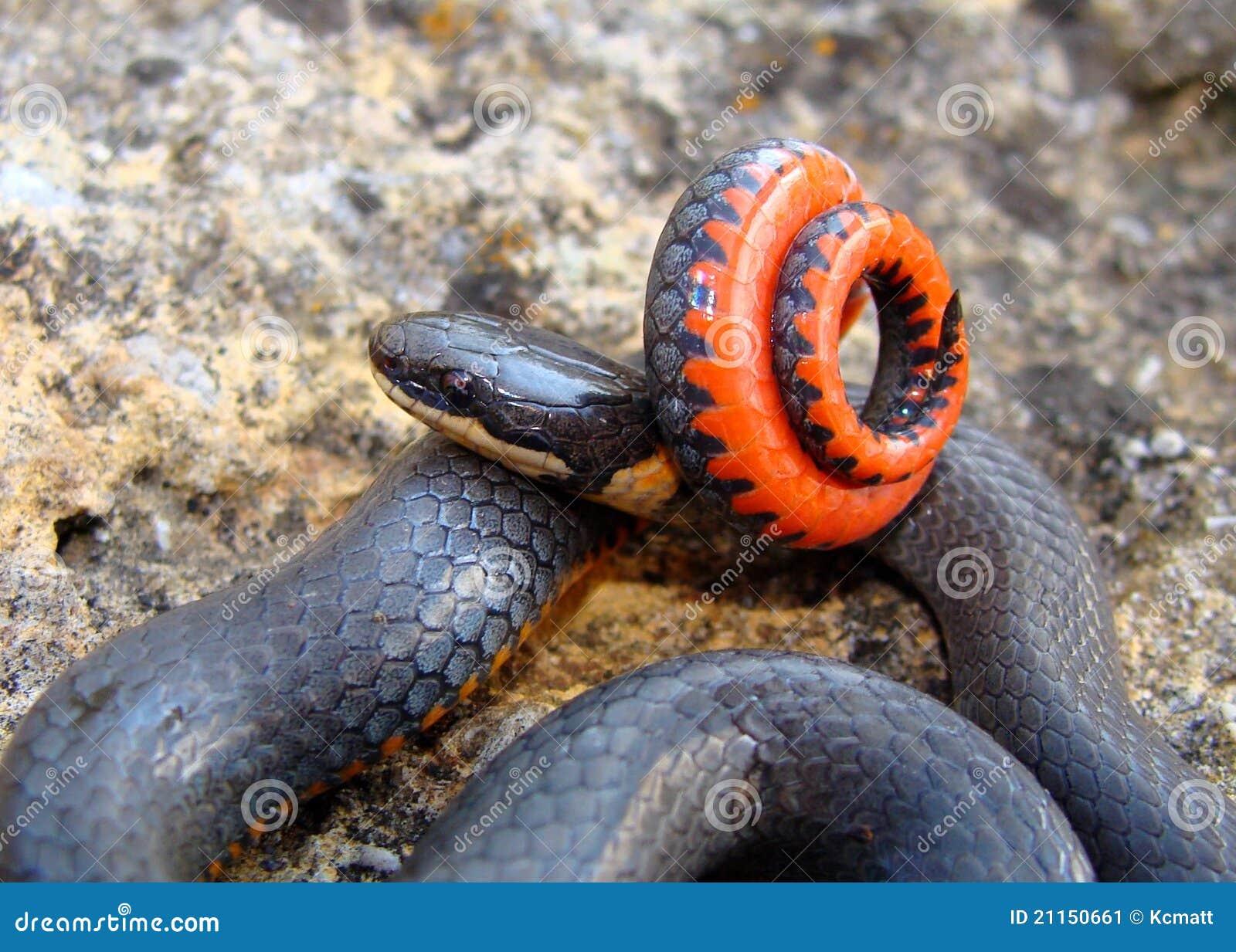 Serpente de Ringneck da pradaria, arnyi do punctatus do Diadophis