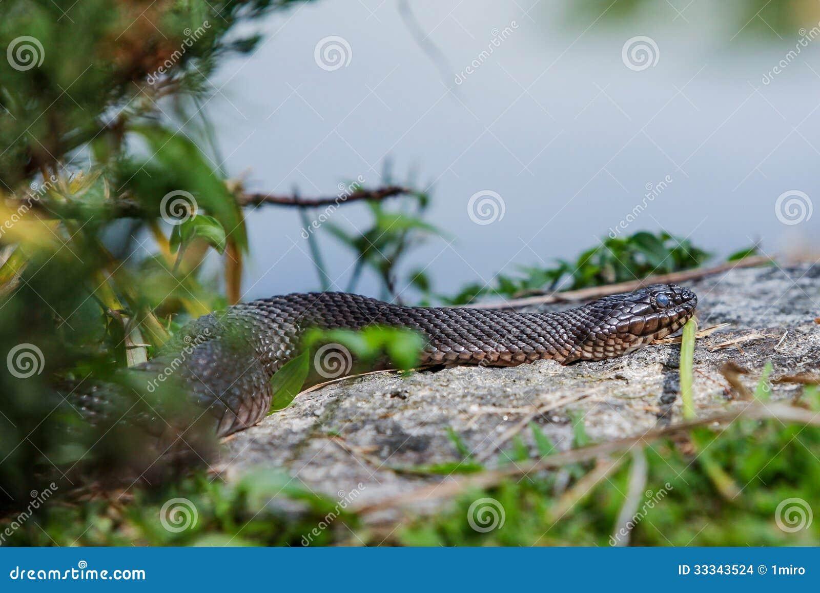 Serpente di acqua nordico