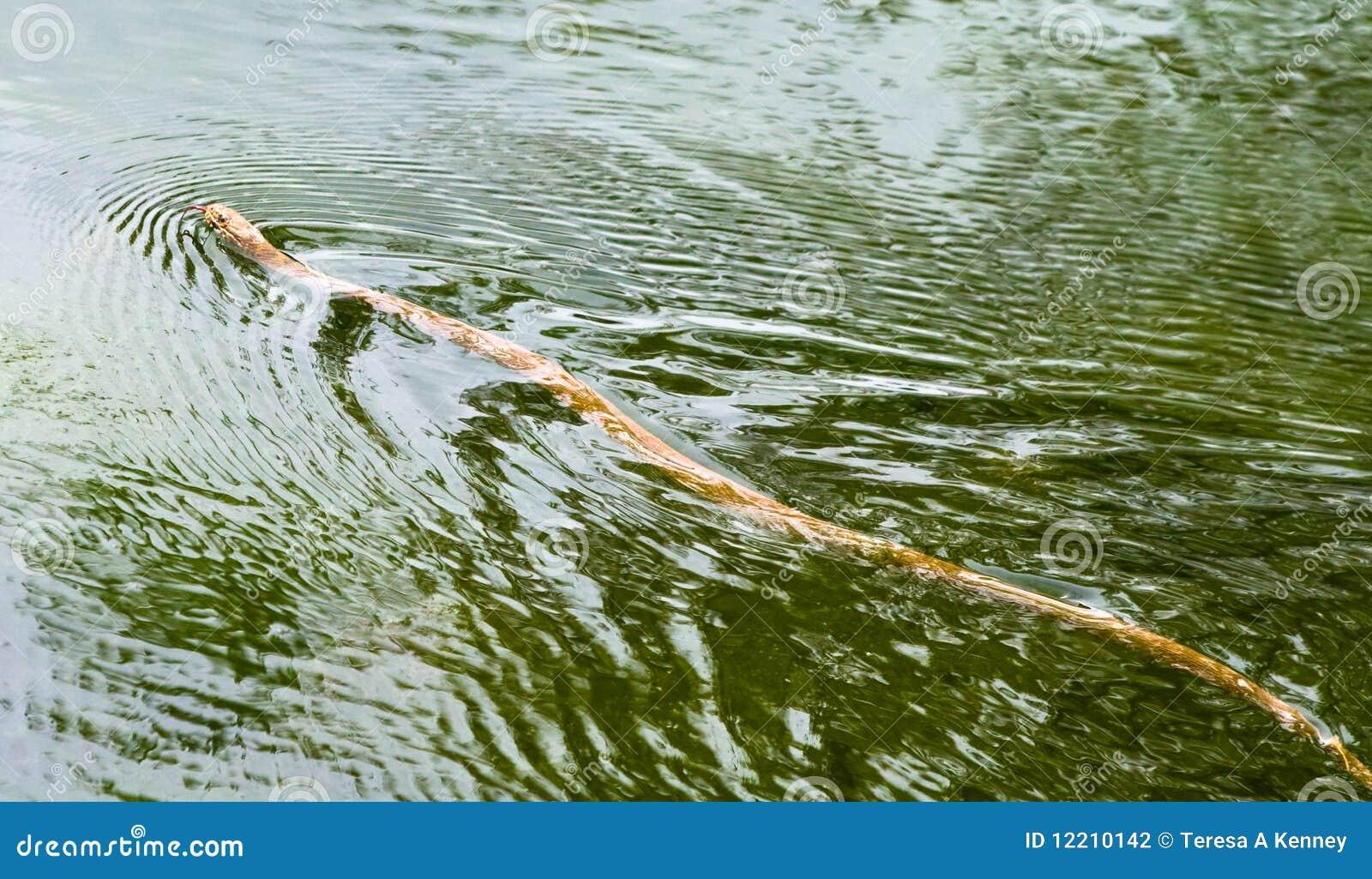 Serpente di acqua nordico del Brown
