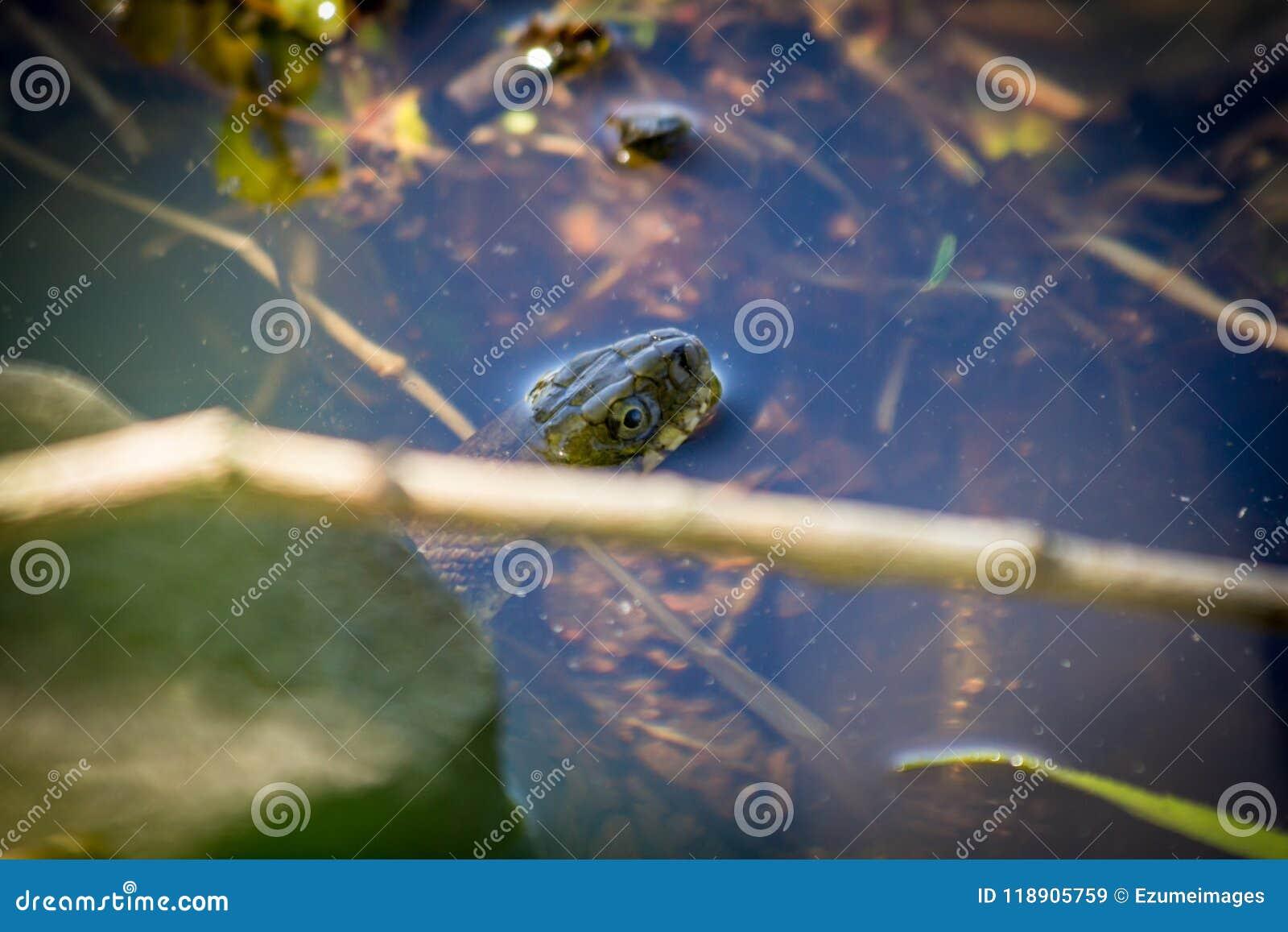 Serpente di acqua nordico legato