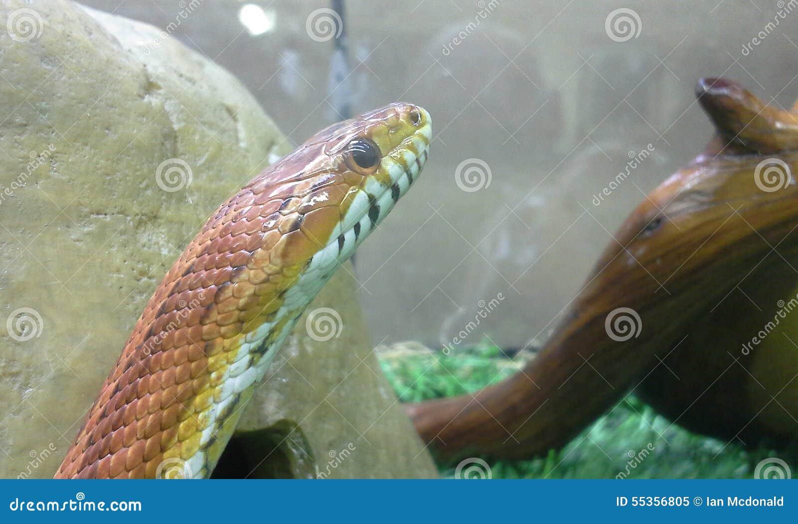 Serpente di cereale