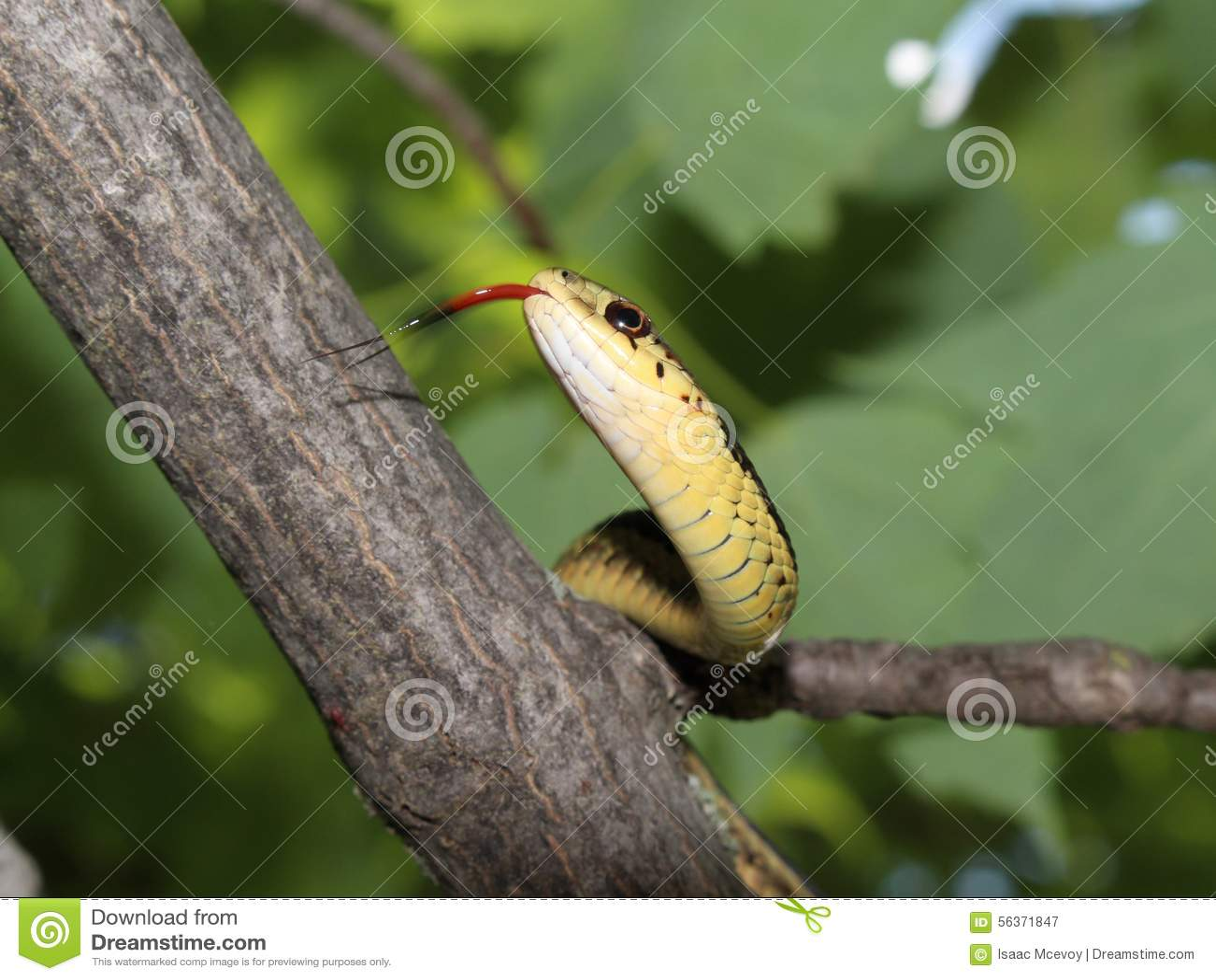 Serpente di giarrettiera