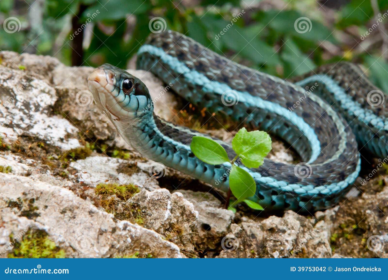 Serpente di giarrettiera di Bluestripe