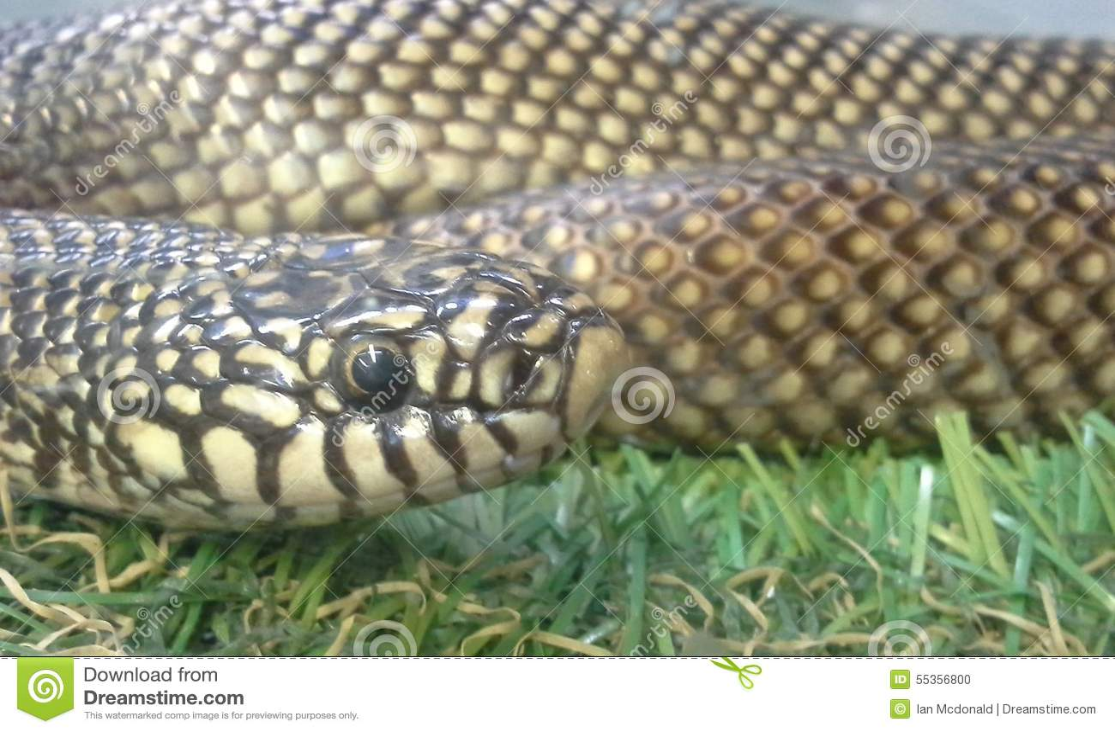 Serpente di re