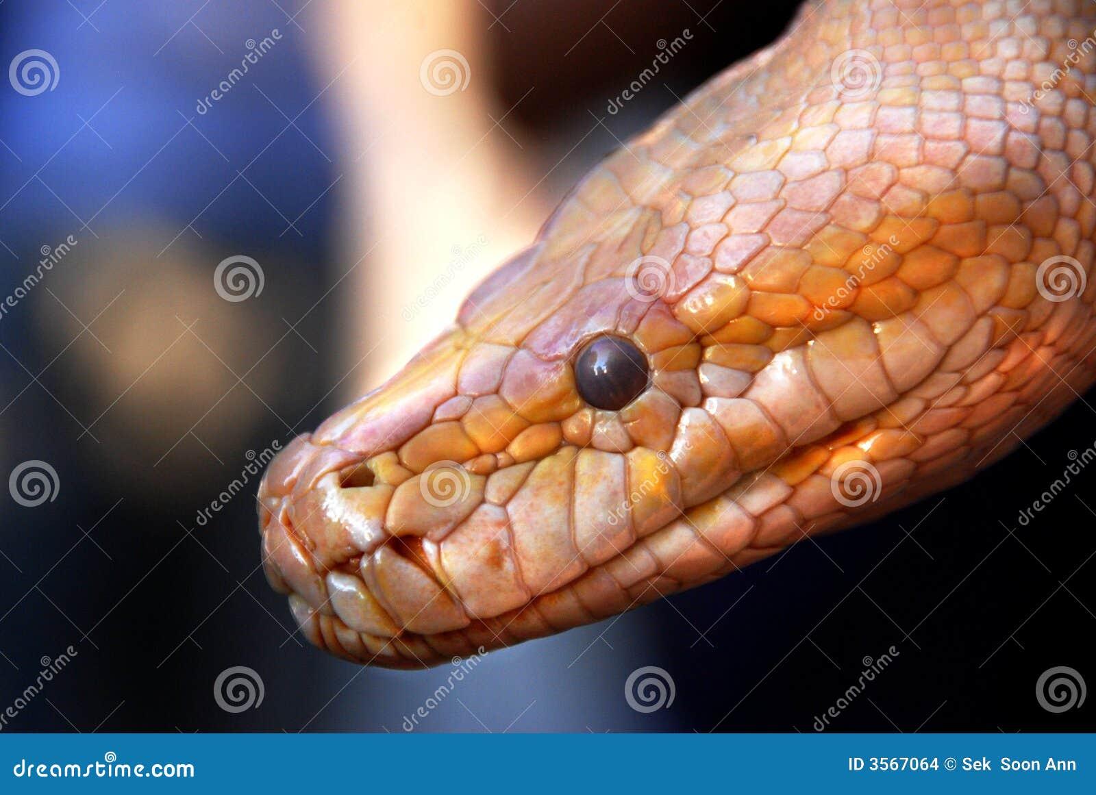 Serpente dorato
