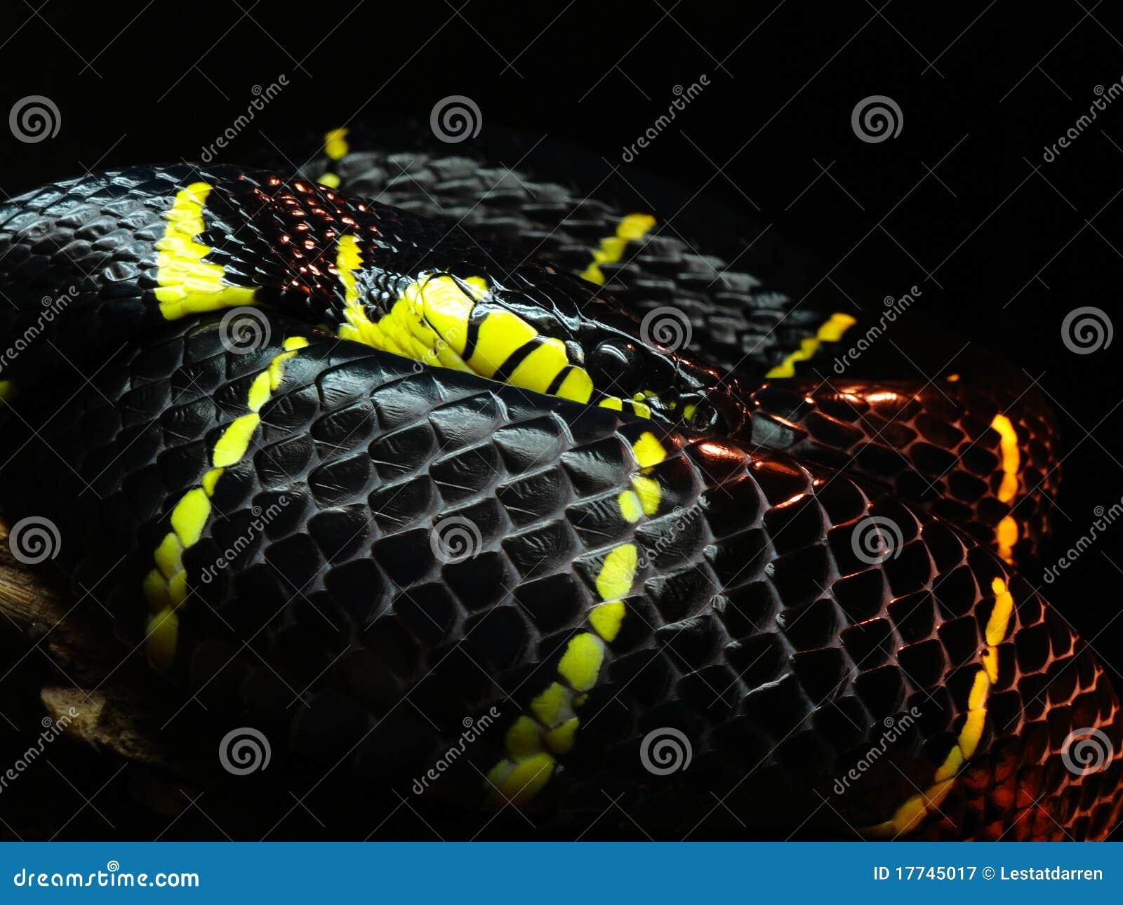 Serpente nero e giallo immagine stock immagine di animale for Serpente nero italiano