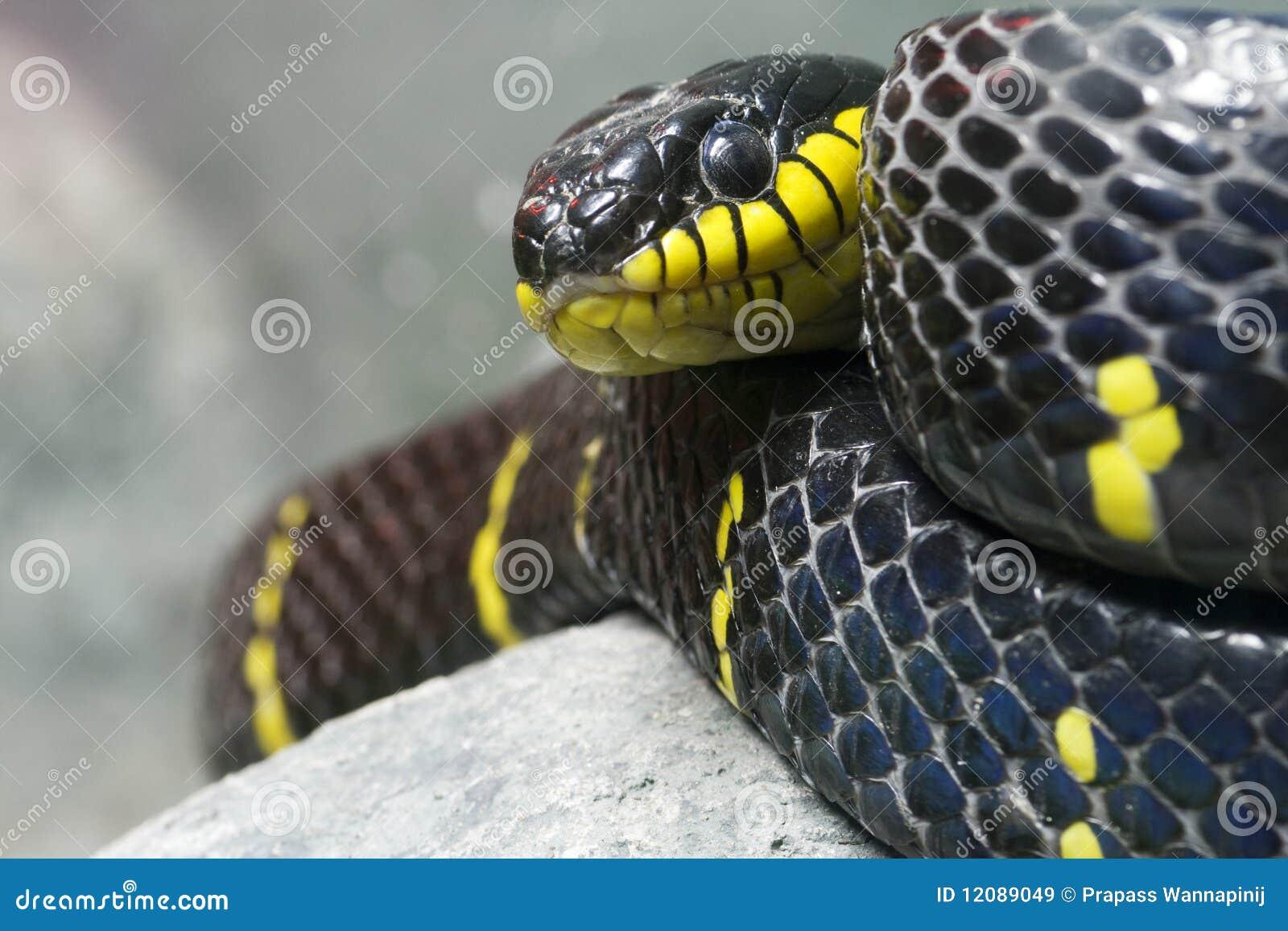 Serpente nero e giallo variopinto immagini stock libere da for Serpente nero italiano