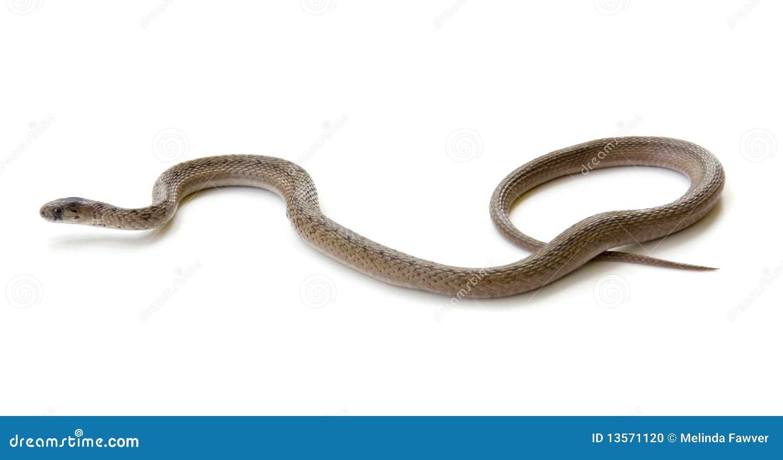 Serpente nordico del Brown
