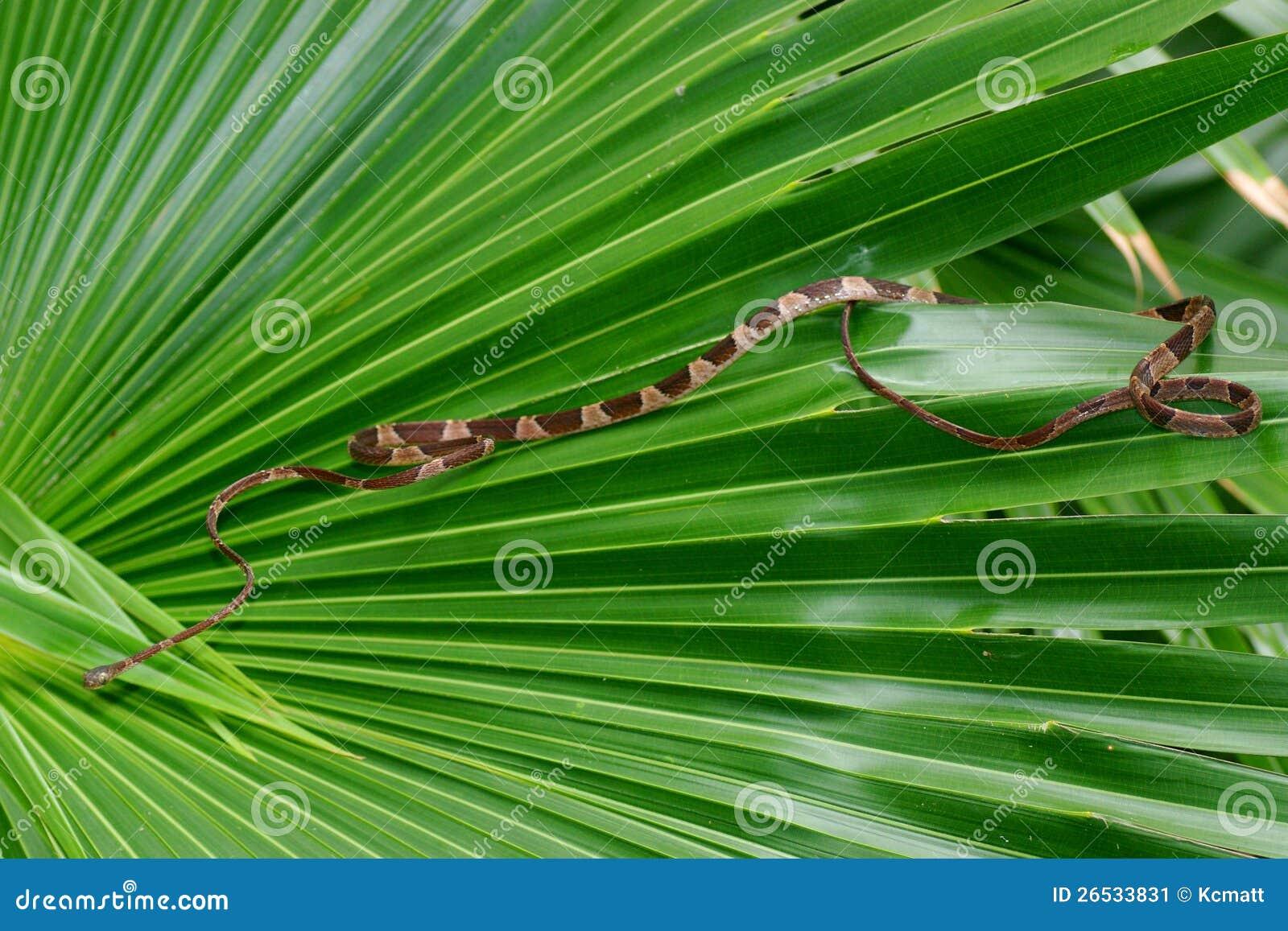 Serpente Smussato-intestato dell albero, cenchoa di Imantodes
