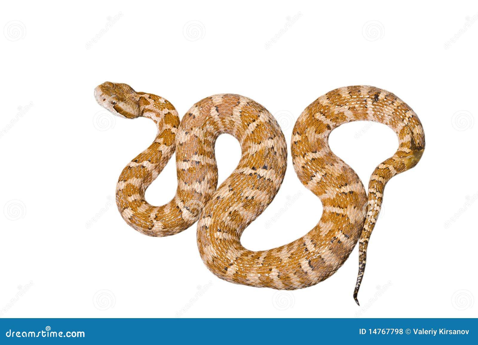 Serpente Venomous 2