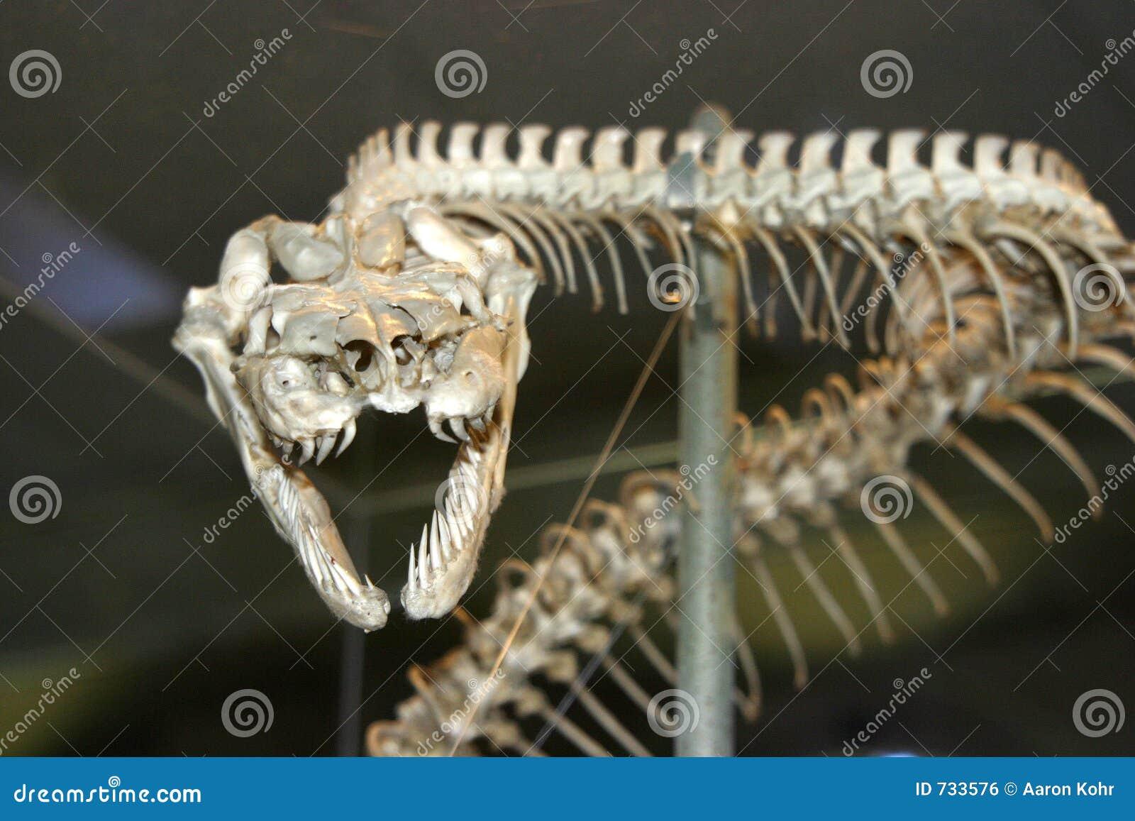 Serpentez le squelette