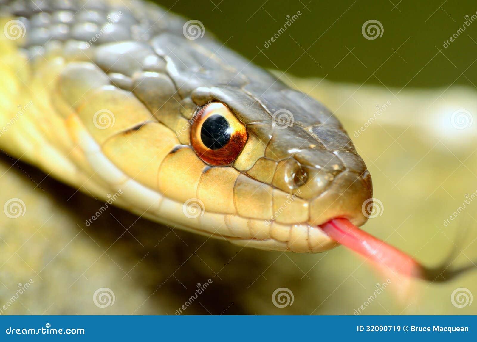 Serpenti di giarrettiera