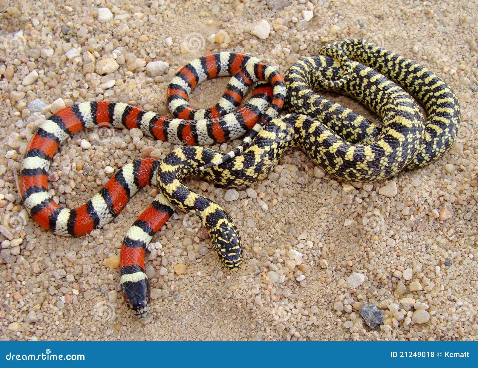 Serpenti Di Sguardo Esotici Due Specie Di Re Serpente