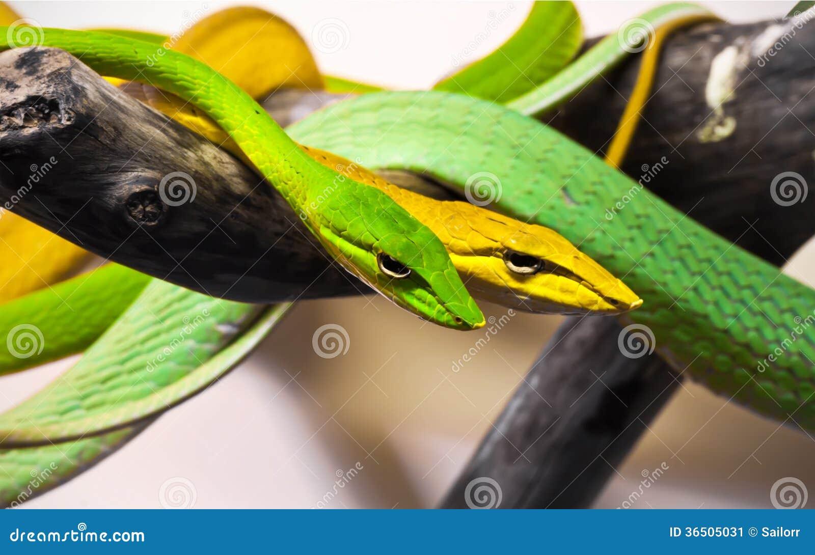 Serpents d Oxybelis