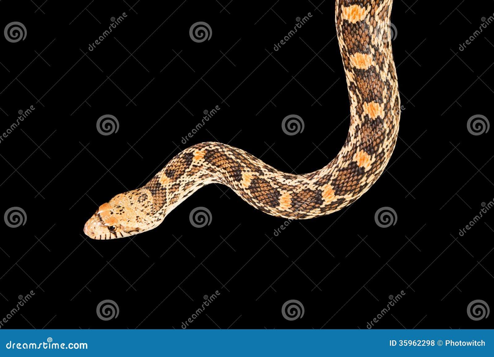 Serpiente aislada en negro