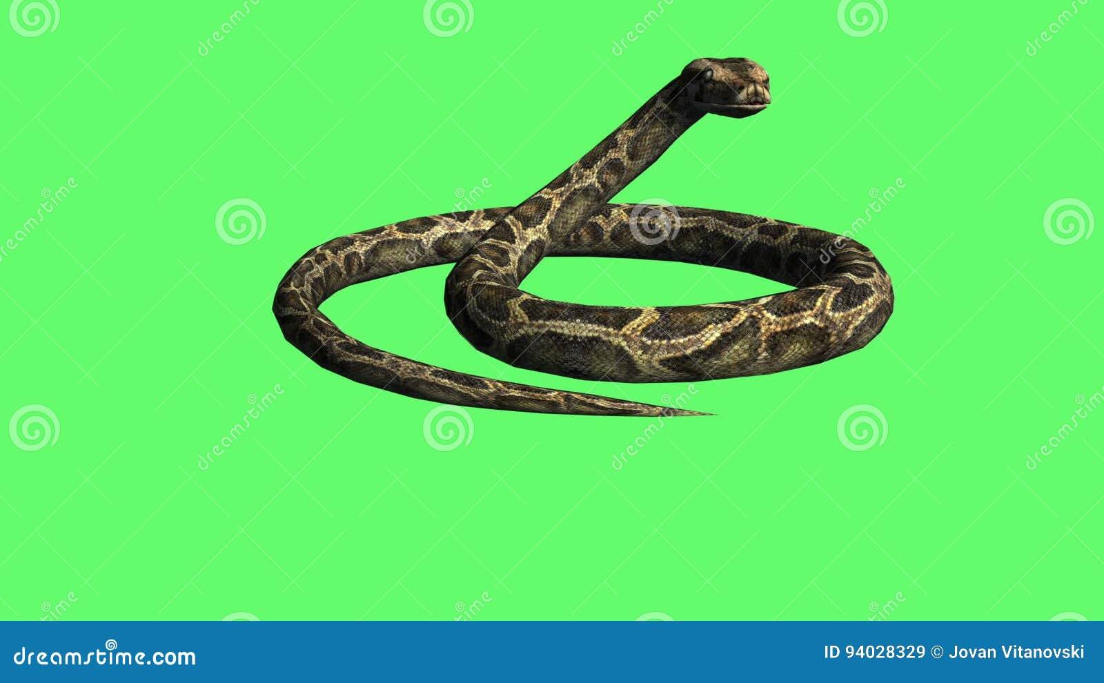 Serpiente - Arrastre Del Pitón En La Tierra - Pantalla Verde Animal ...