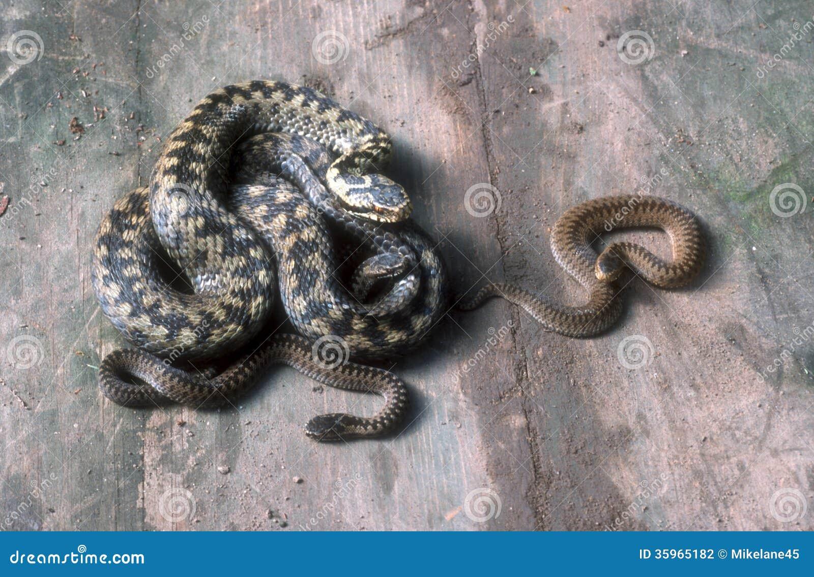 Serpiente, berus del Vipera