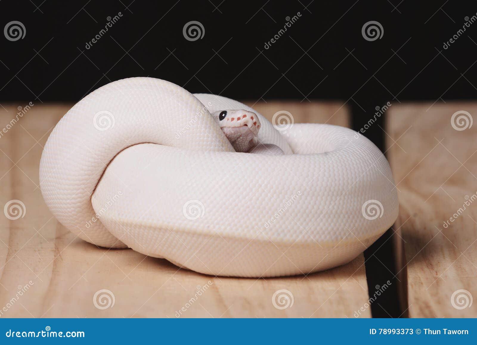 Serpiente Blanca Del Pitón De La Bola Imagen de archivo - Imagen de ...