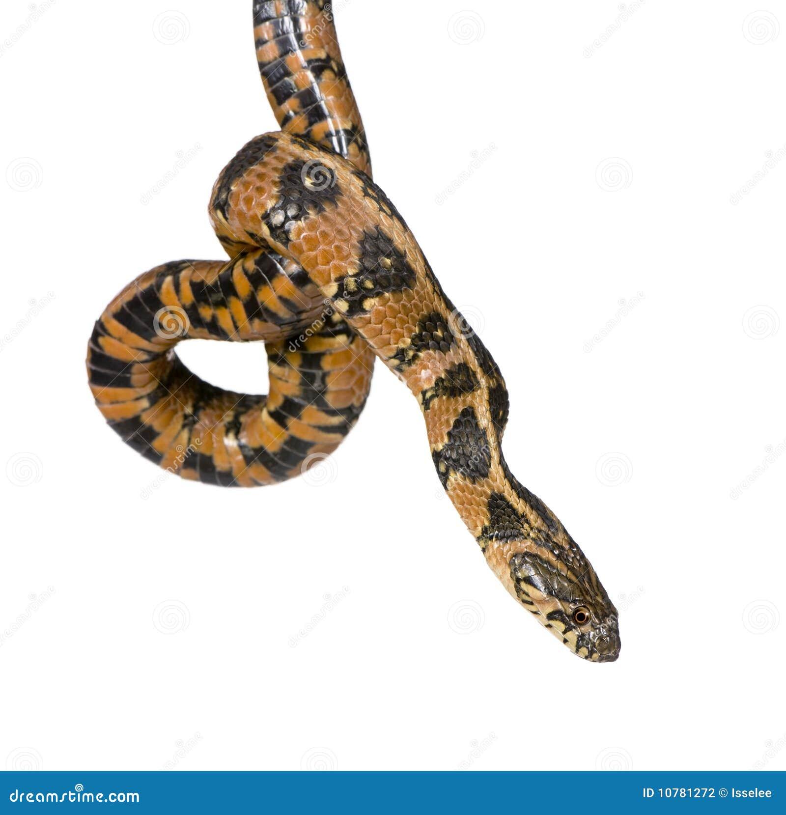 Serpiente de azote verde, viridiflavus de Hierophis