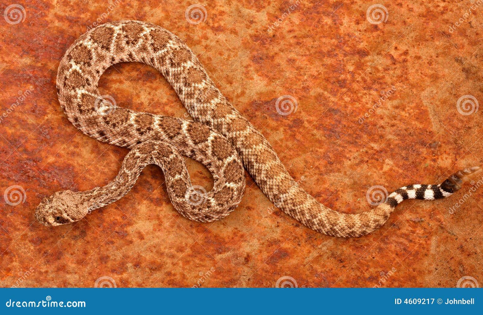 Serpiente de cascabel de Diamondback occidental (atrox del Crotalus).
