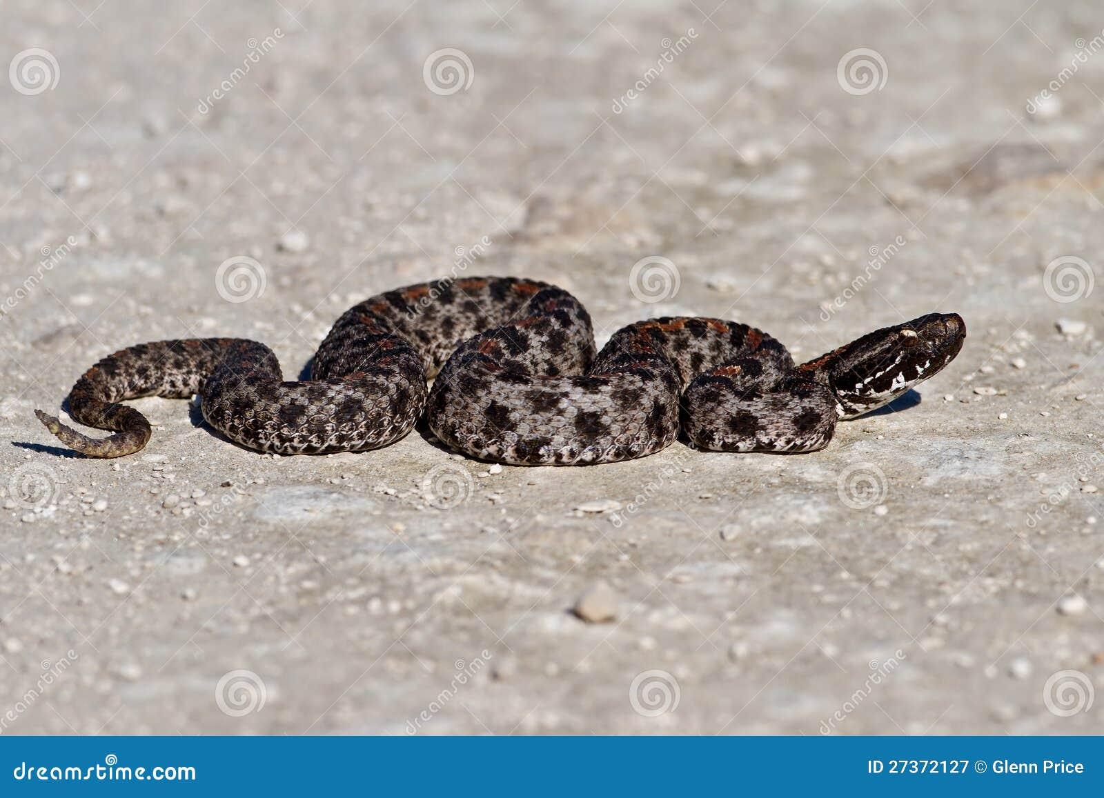 Serpiente De Cascabel Enana Oscura Imagen de archivo - Imagen de ...