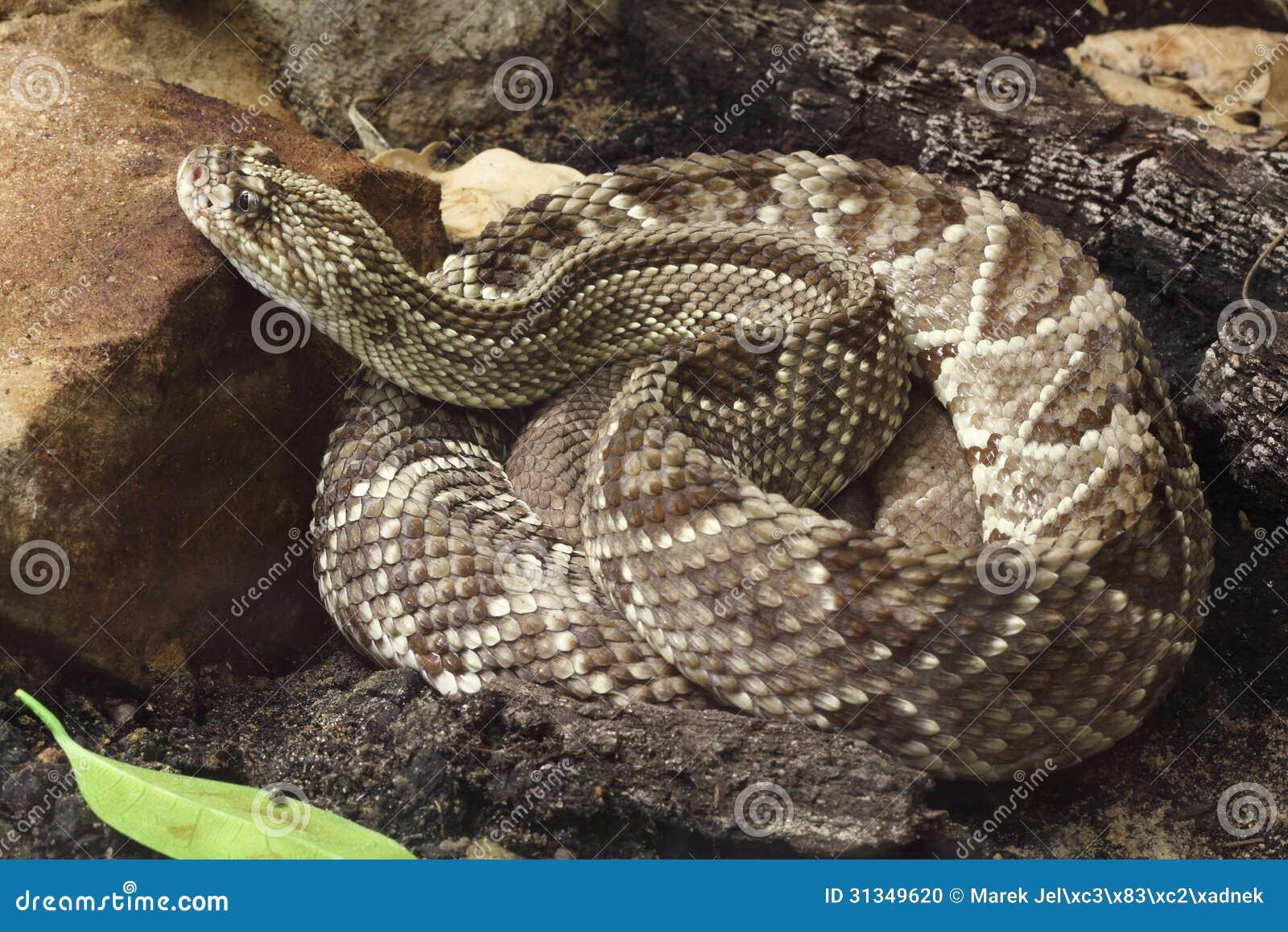 Serpiente De Cascabel Tropical Foto de archivo - Imagen de south ...