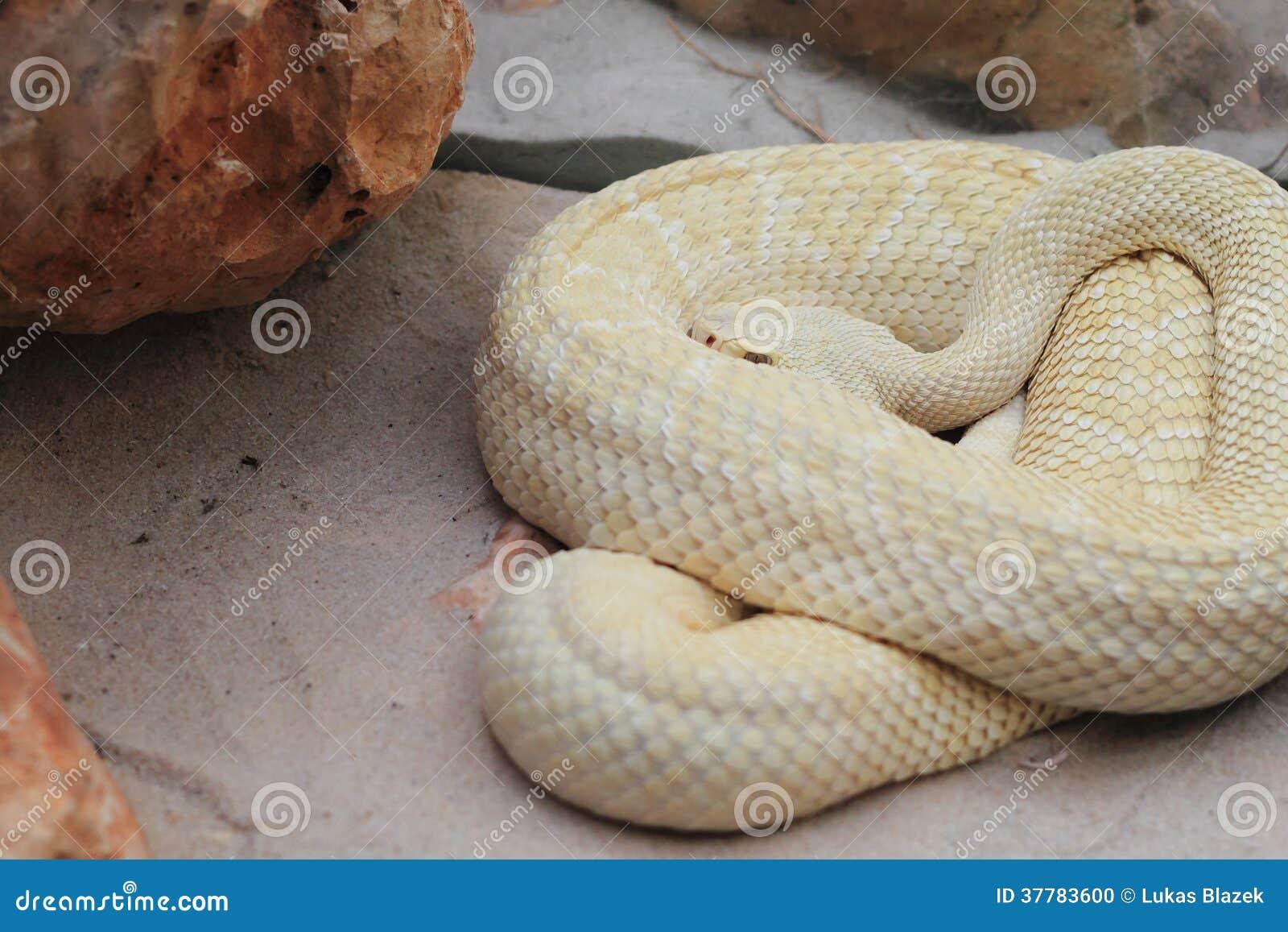 La forma blanca de serpiente de cascabel tropical que miente en la arena. 886b9d7e85b4