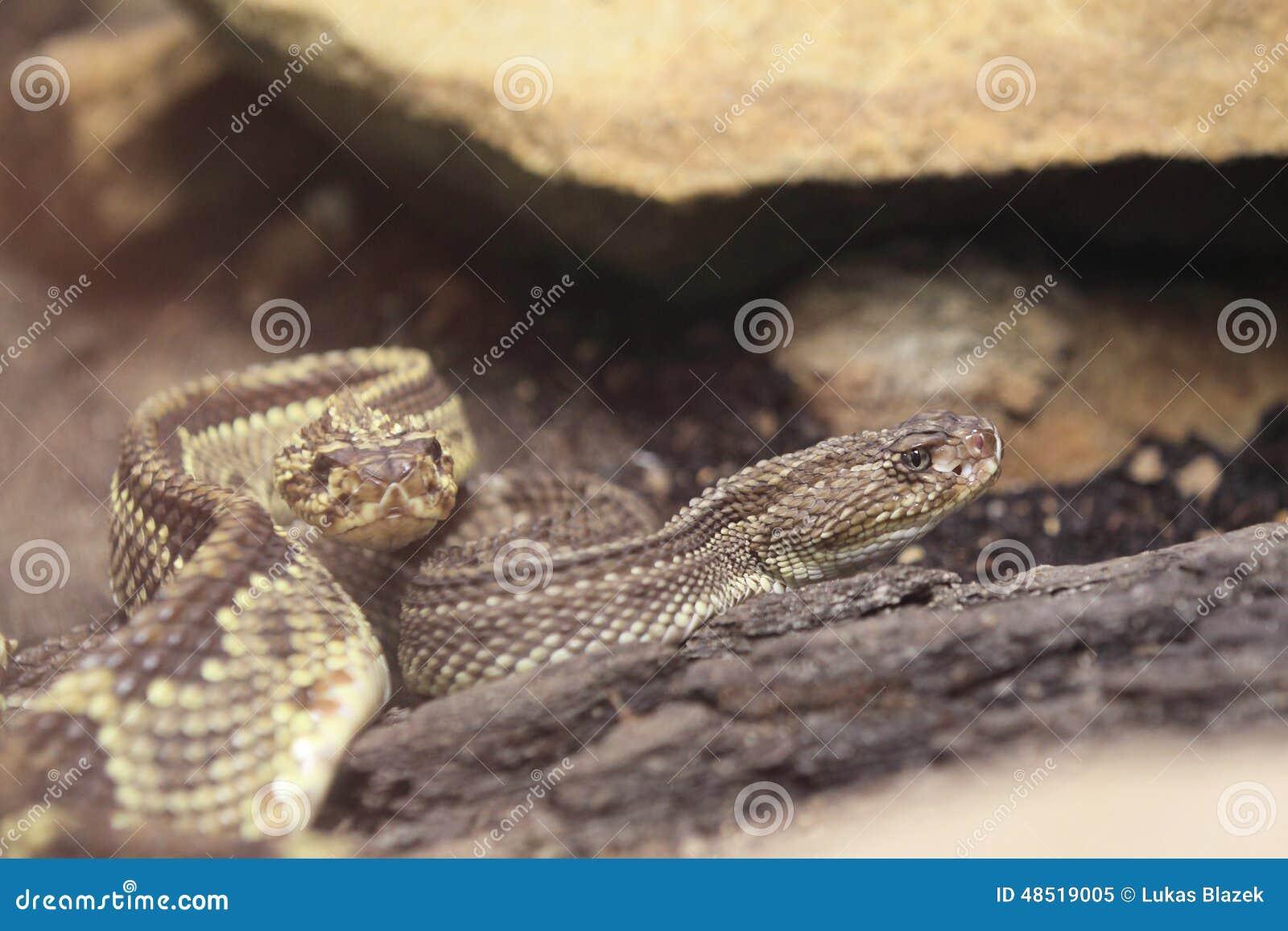 Serpiente De Cascabel Tropical Imagen de archivo - Imagen de animal ...