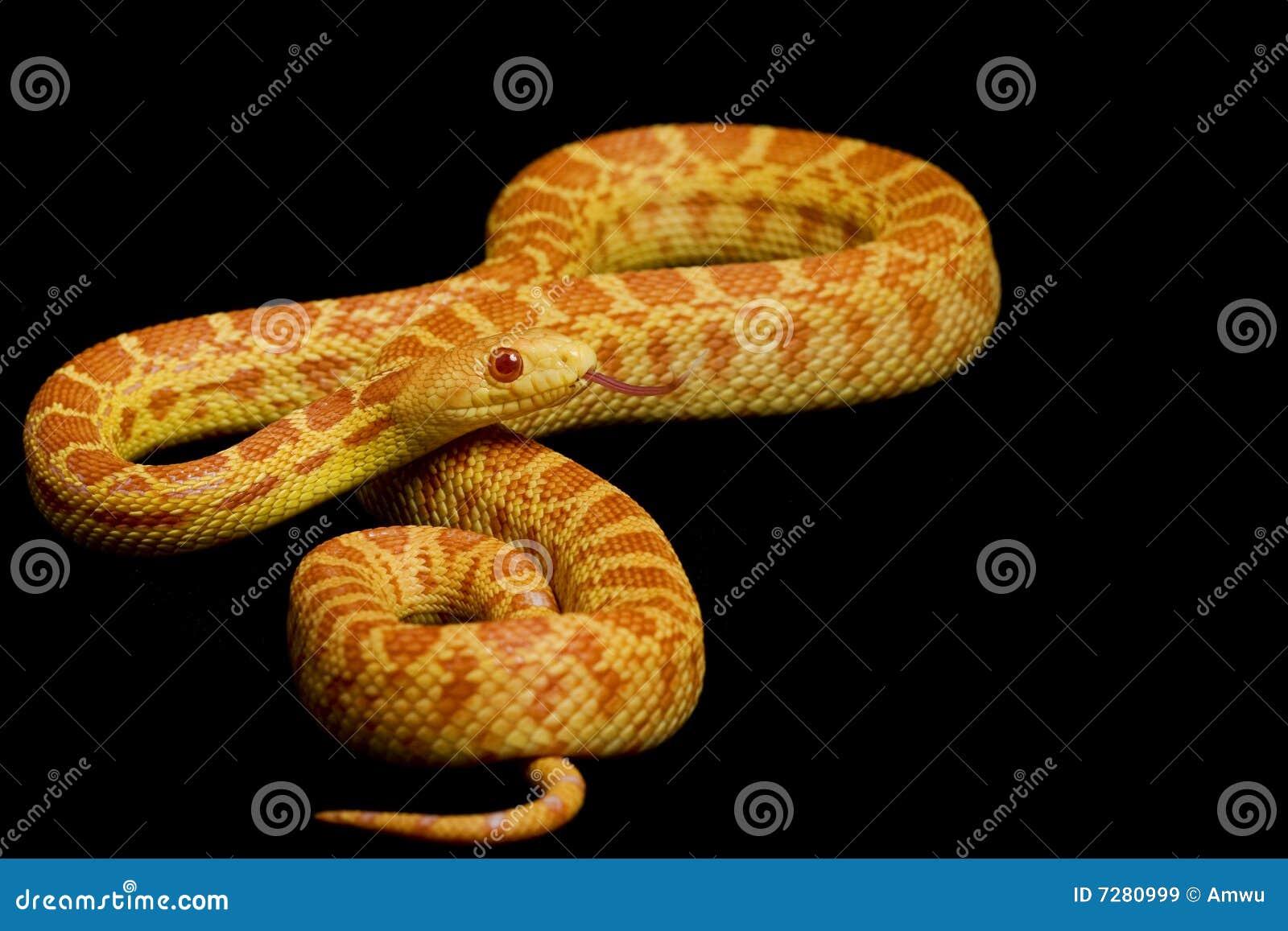 Serpiente de Gopher del albino