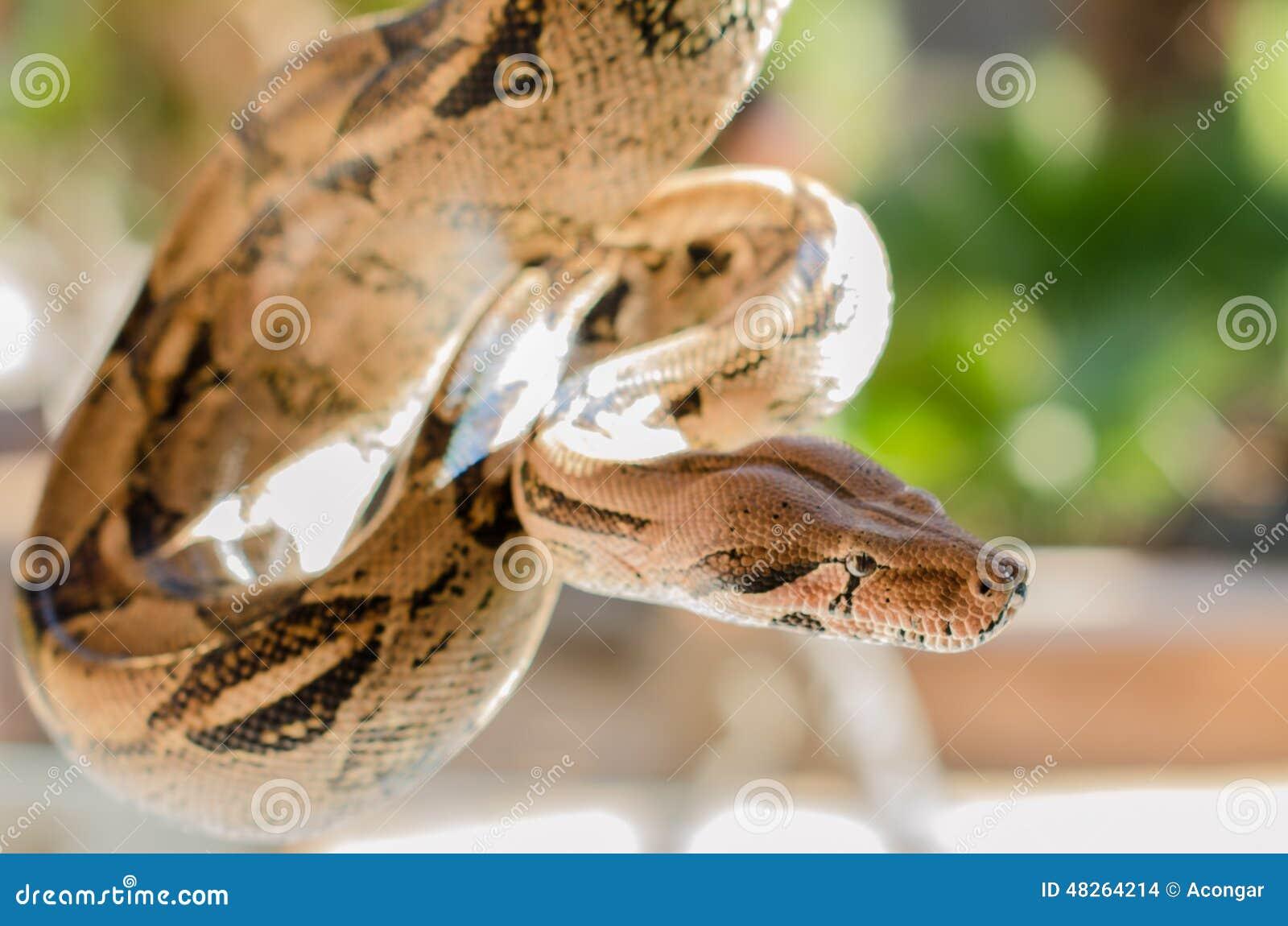 Serpiente de la boa