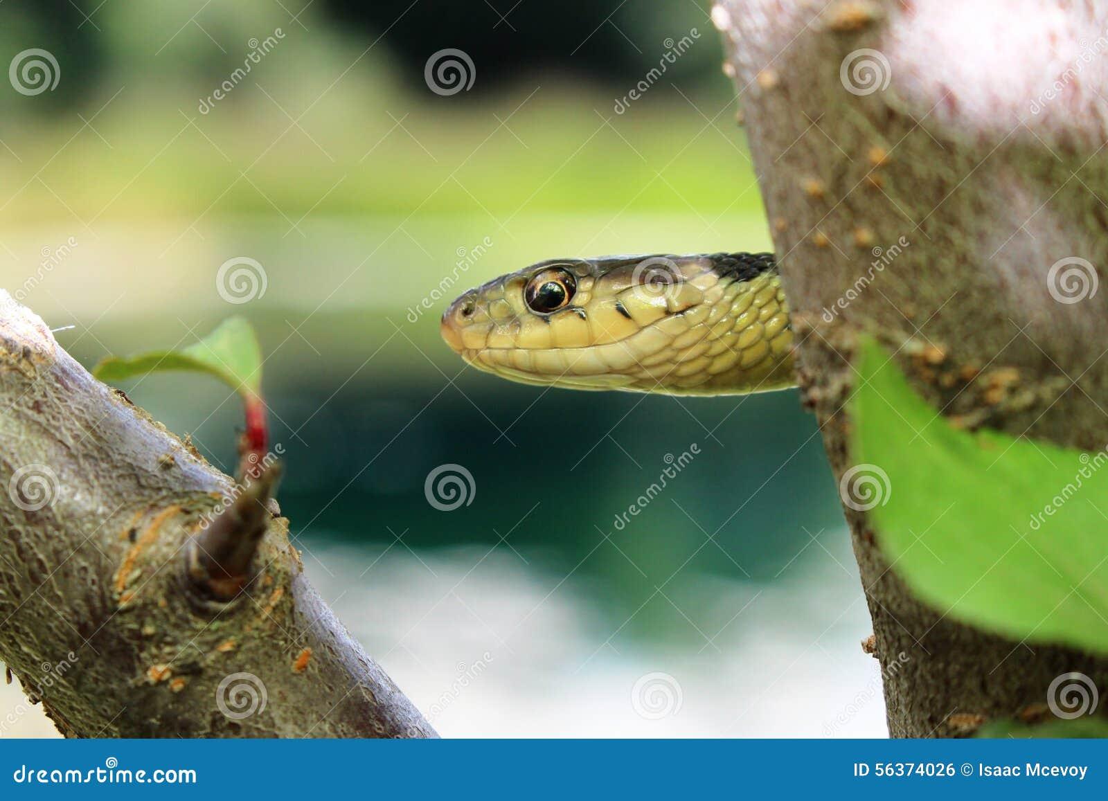 Serpiente de liga