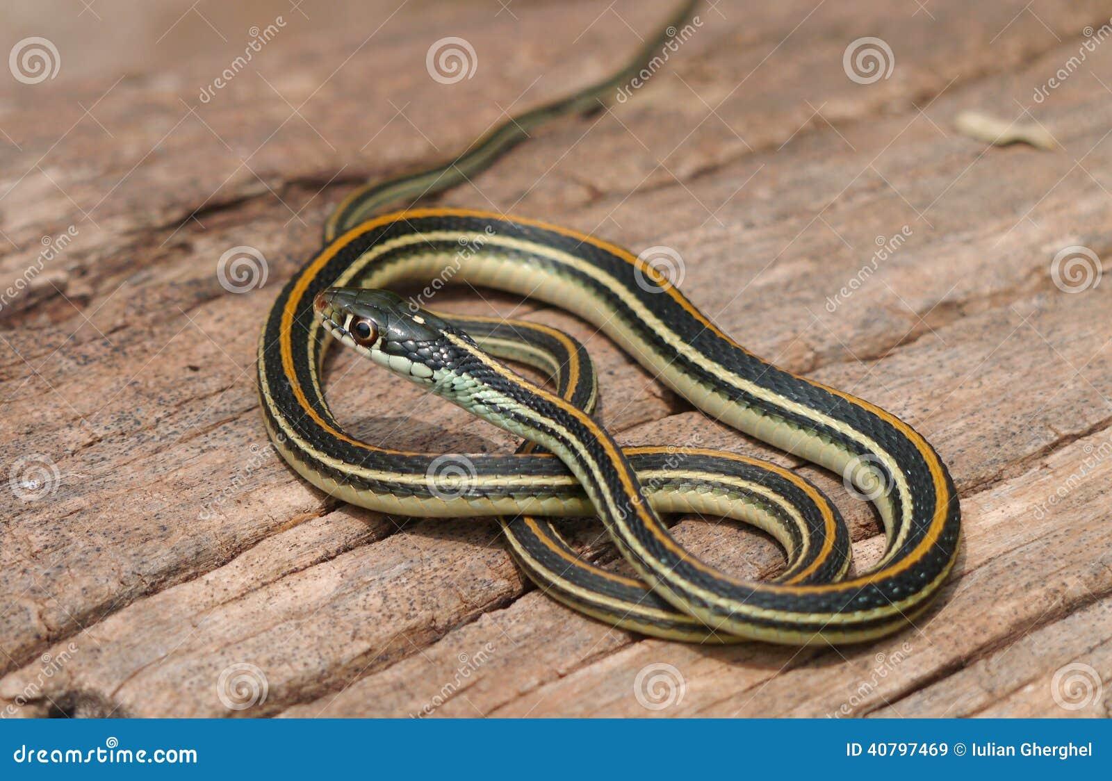 Serpiente de liga común