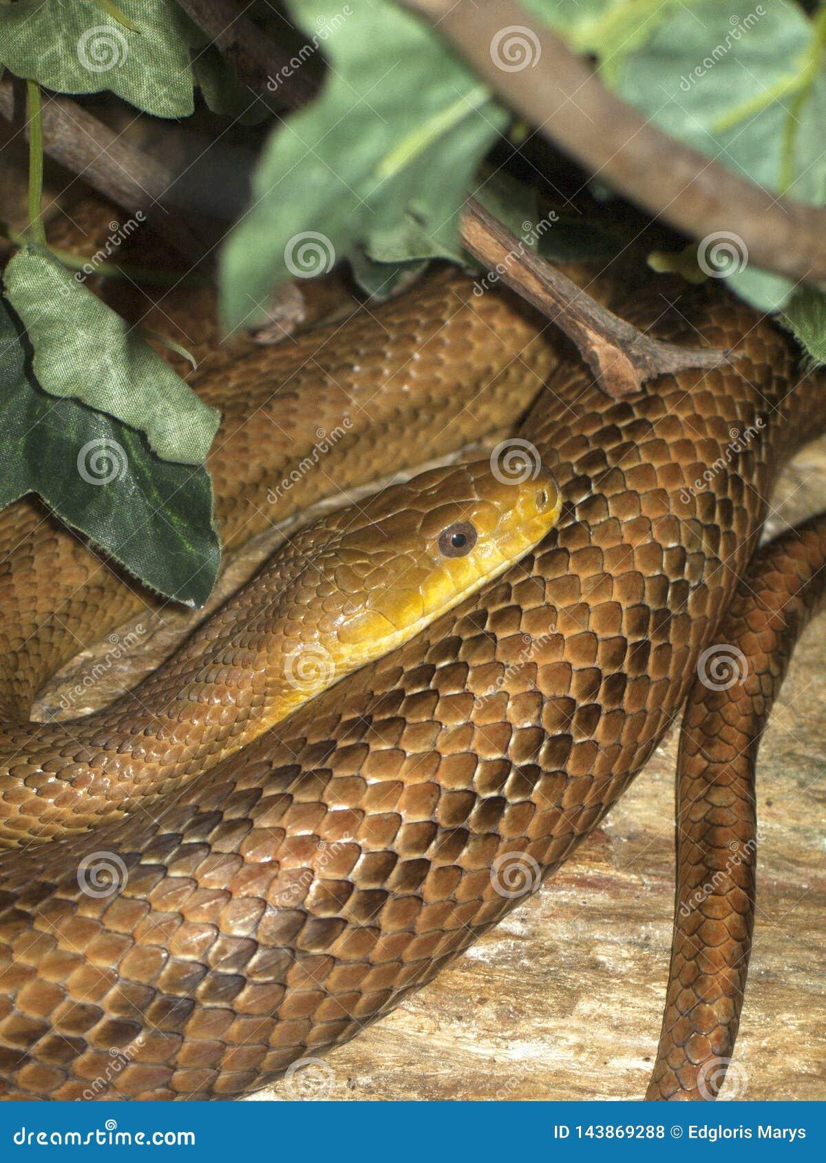 Serpiente de liga del Thamnophis en el bosque del Amazonas, espécimen de Venezuela, Suramérica