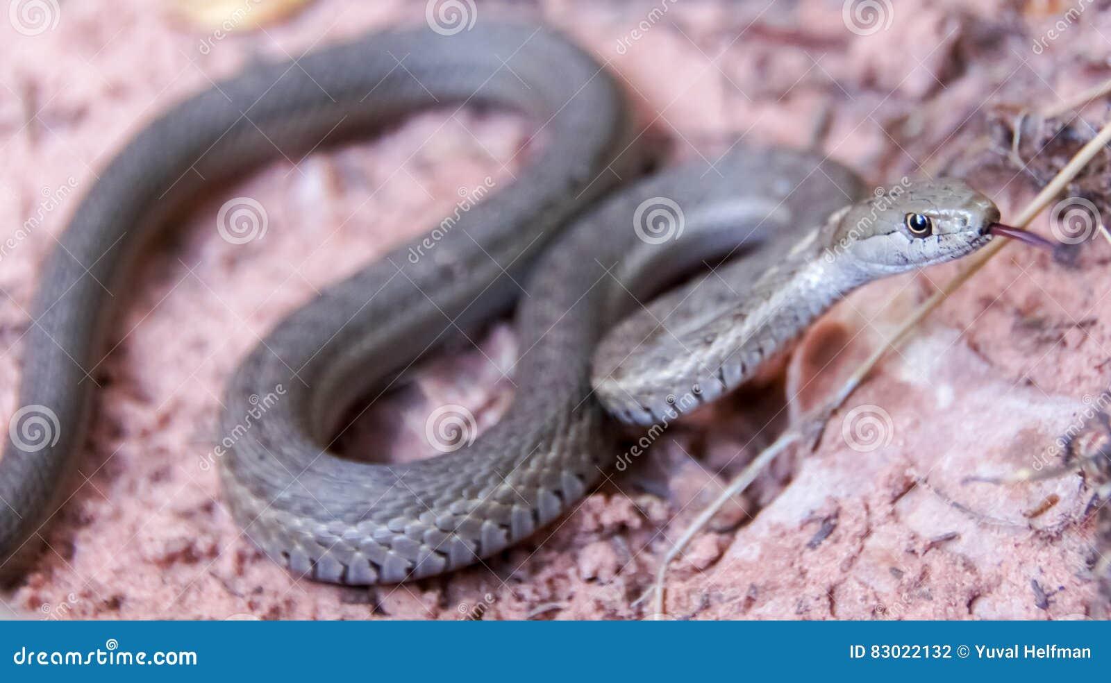 Serpiente de liga terrestre occidental - elegans del Thamnophis