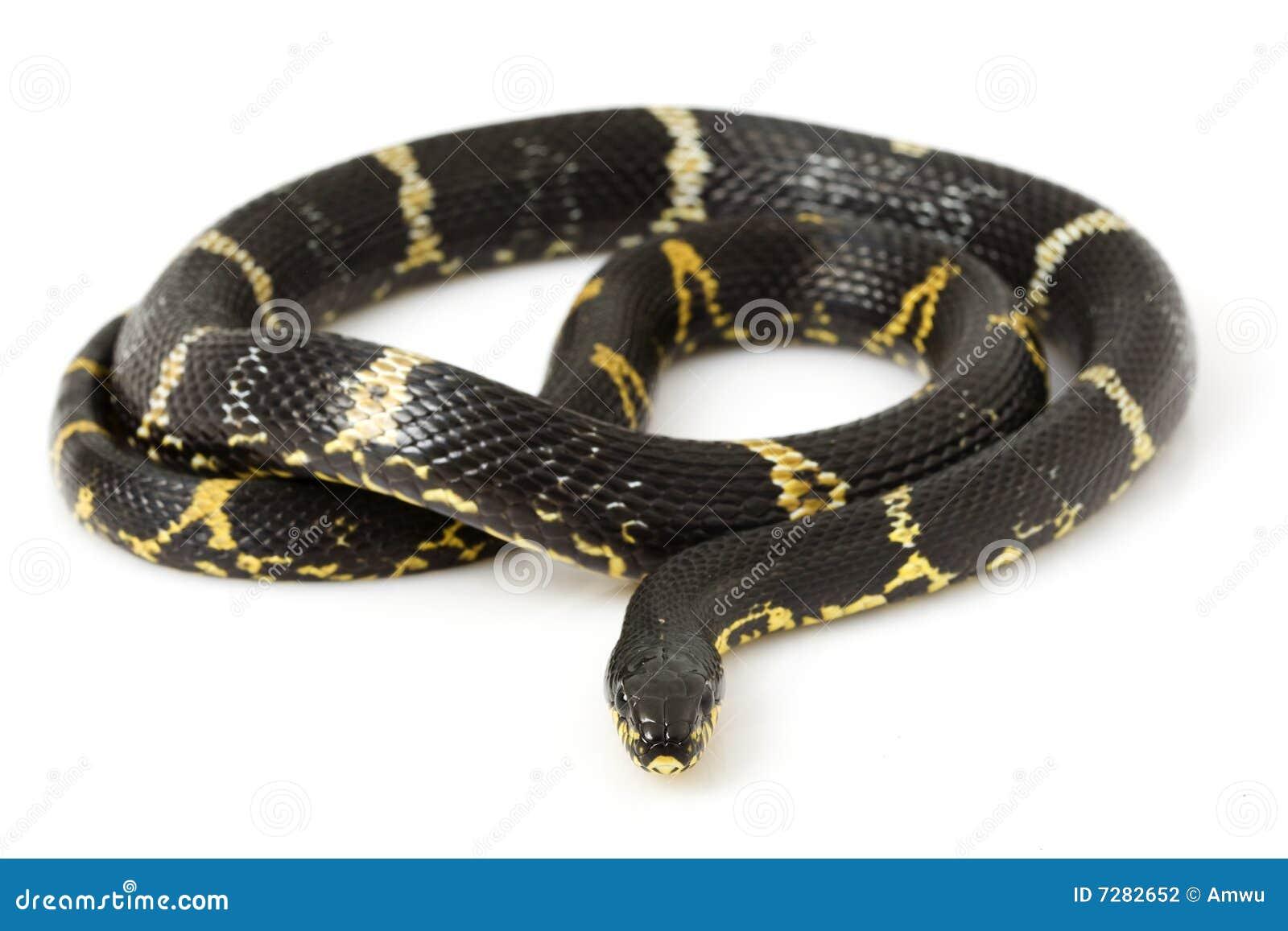 Serpiente de rata rusa
