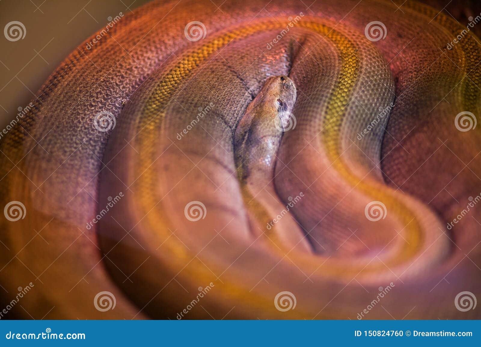 Serpiente salvaje grande con la piel nacarada en colores defferent