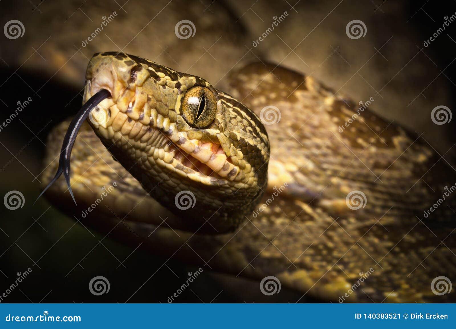 Serpiente tropical, hortulanus de Corallus de la boa del árbol una serpiente de la selva tropical del Amazonas en Colombia