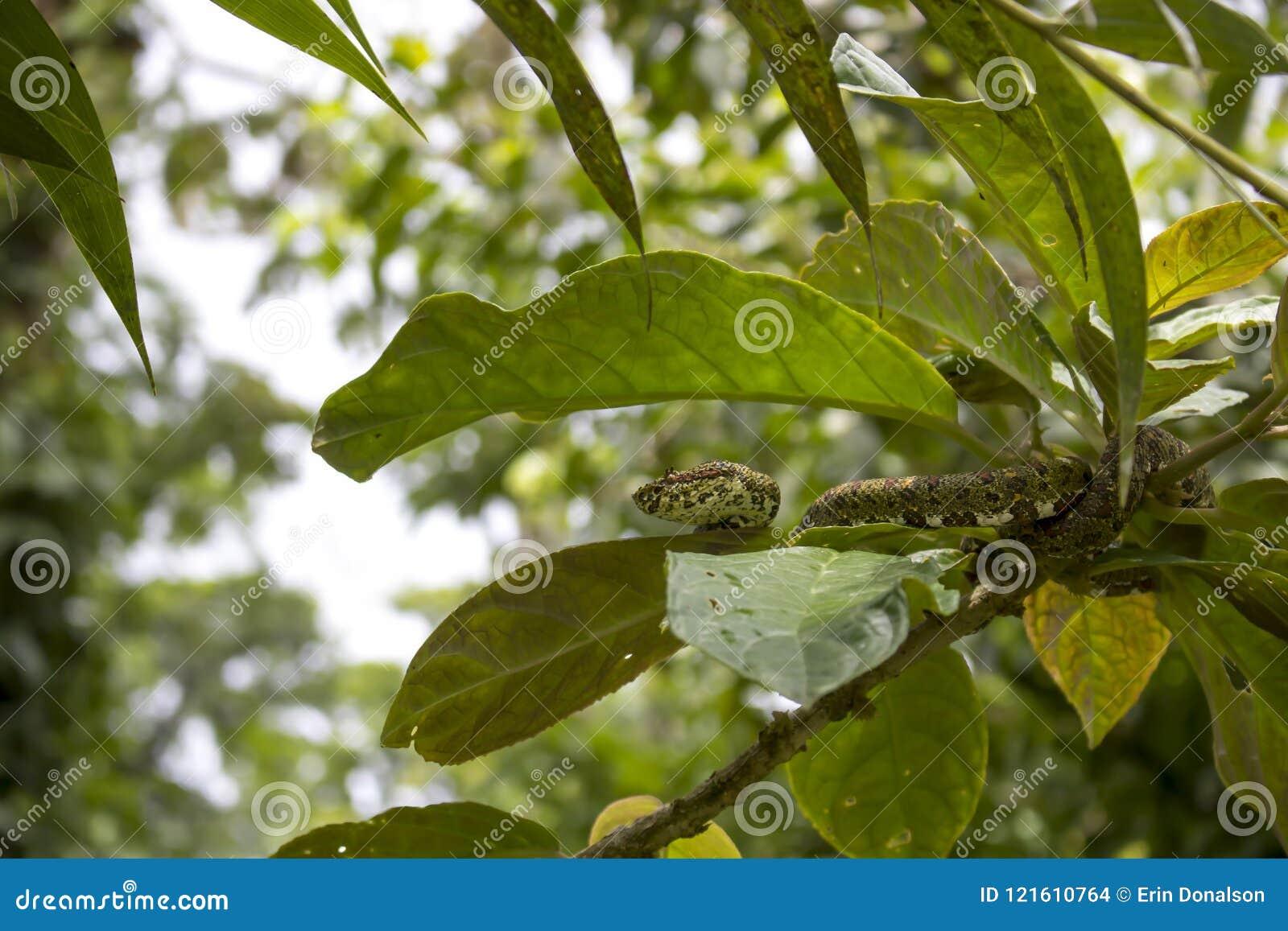 Serpiente venenosa de la víbora de la pestaña en árbol de la selva